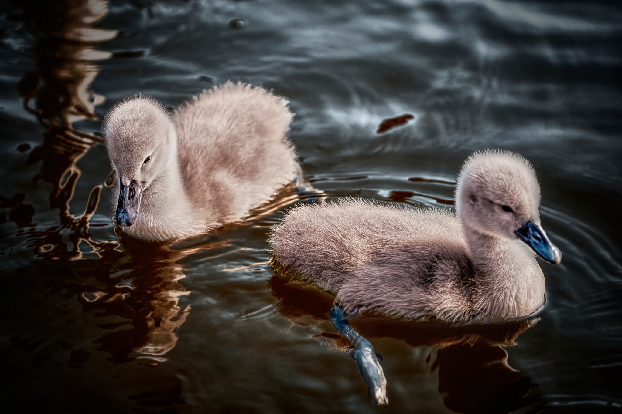 a pair of cygnets by Scott Williams
