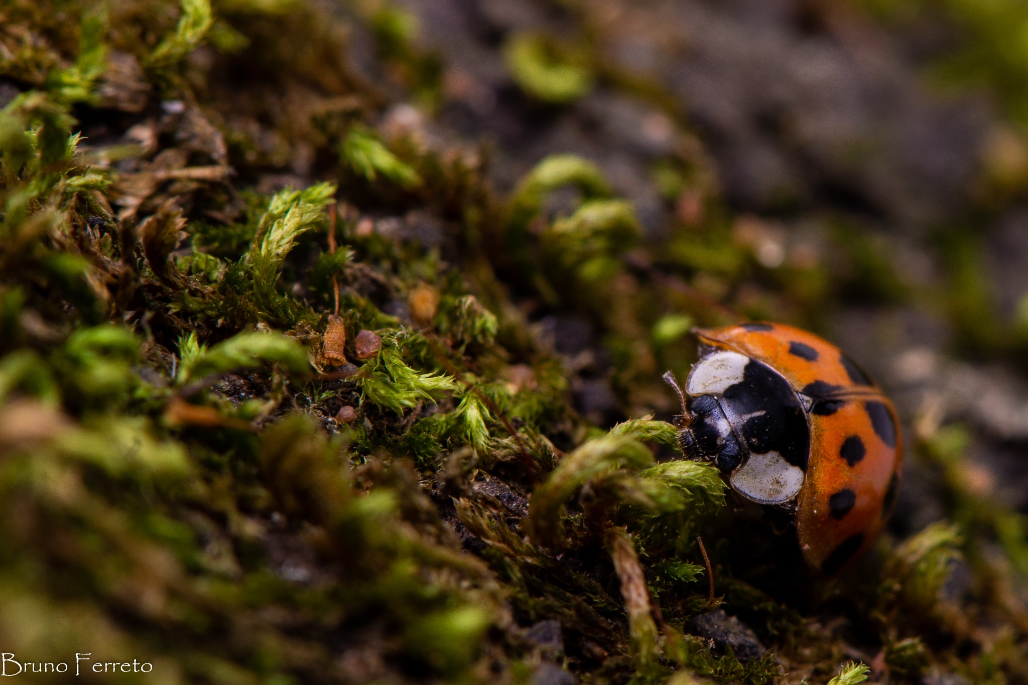 Lady bug by Bruno Ferreto