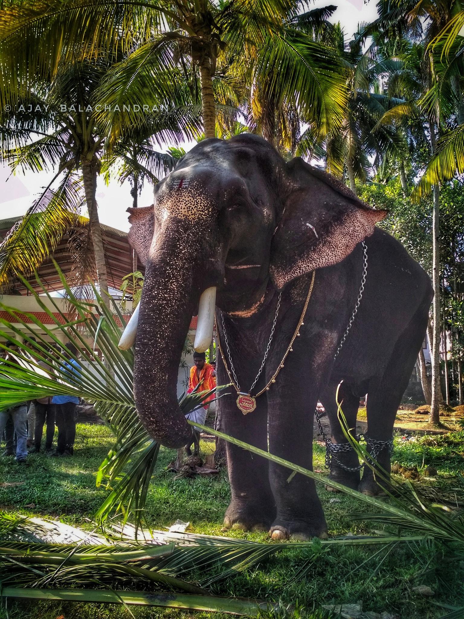 Elephant by Ajay Balachandran