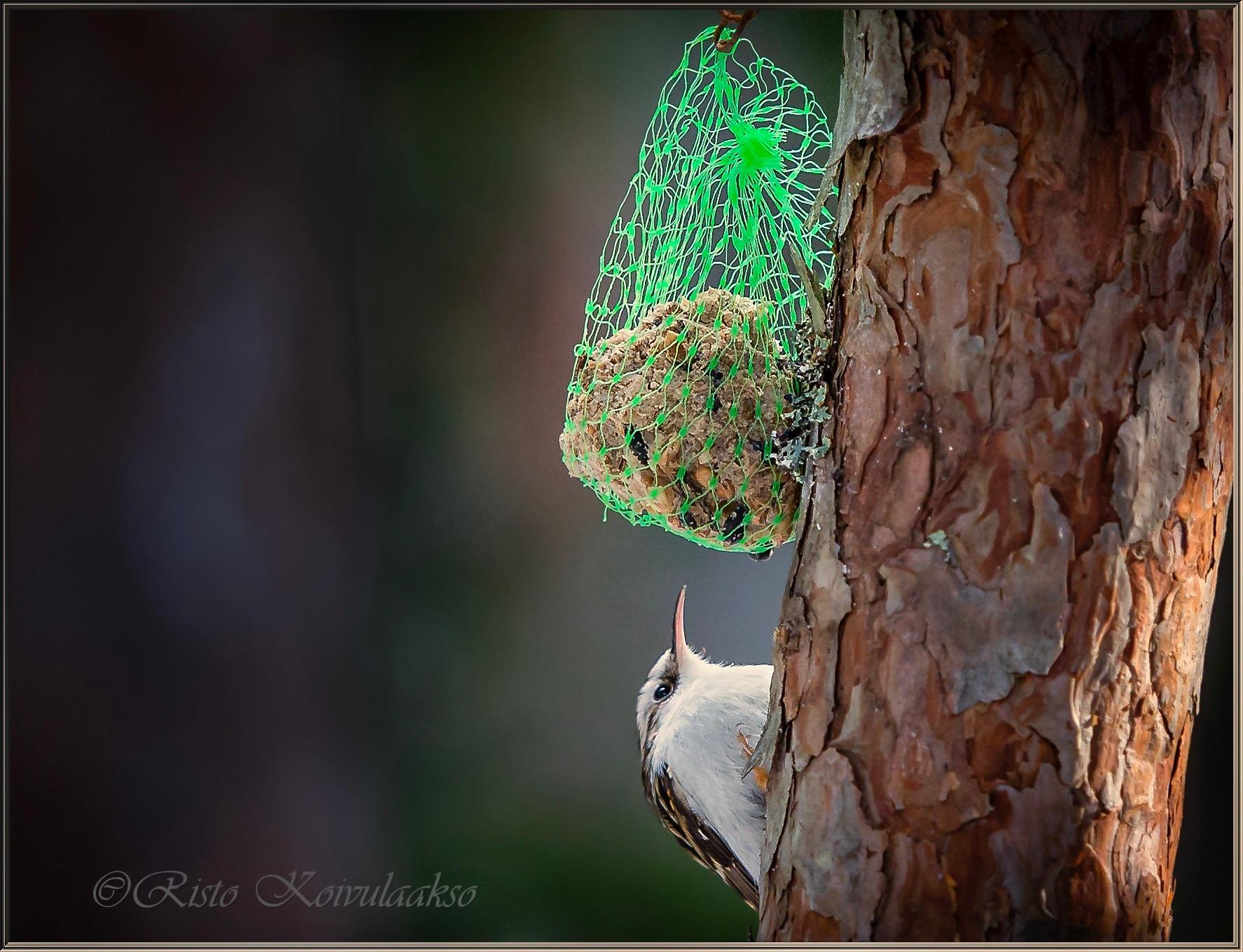 Treecreeper by Risto Koivulaakso