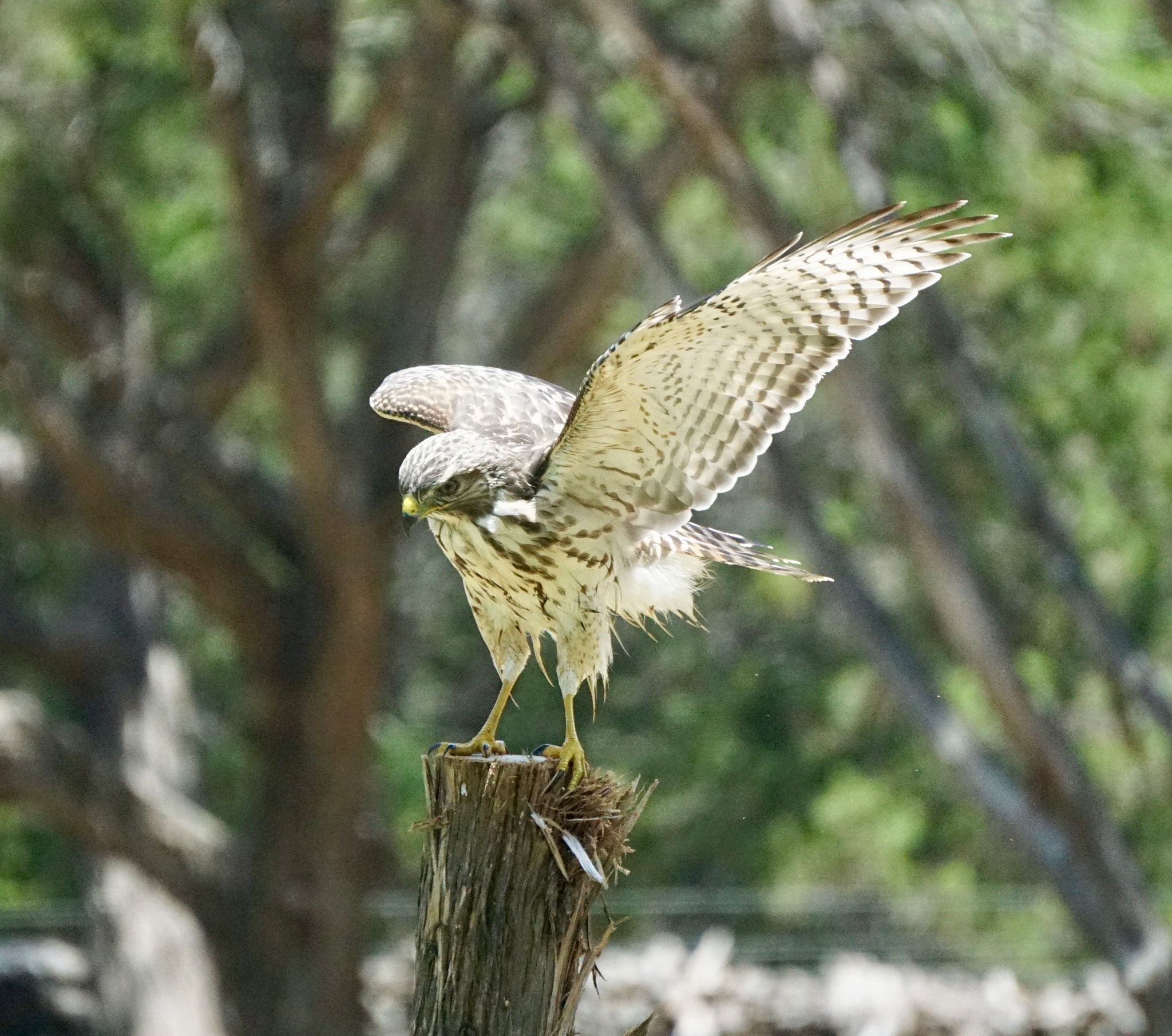 Juvenile Red-Tailed Hawk by texaspicturegirl