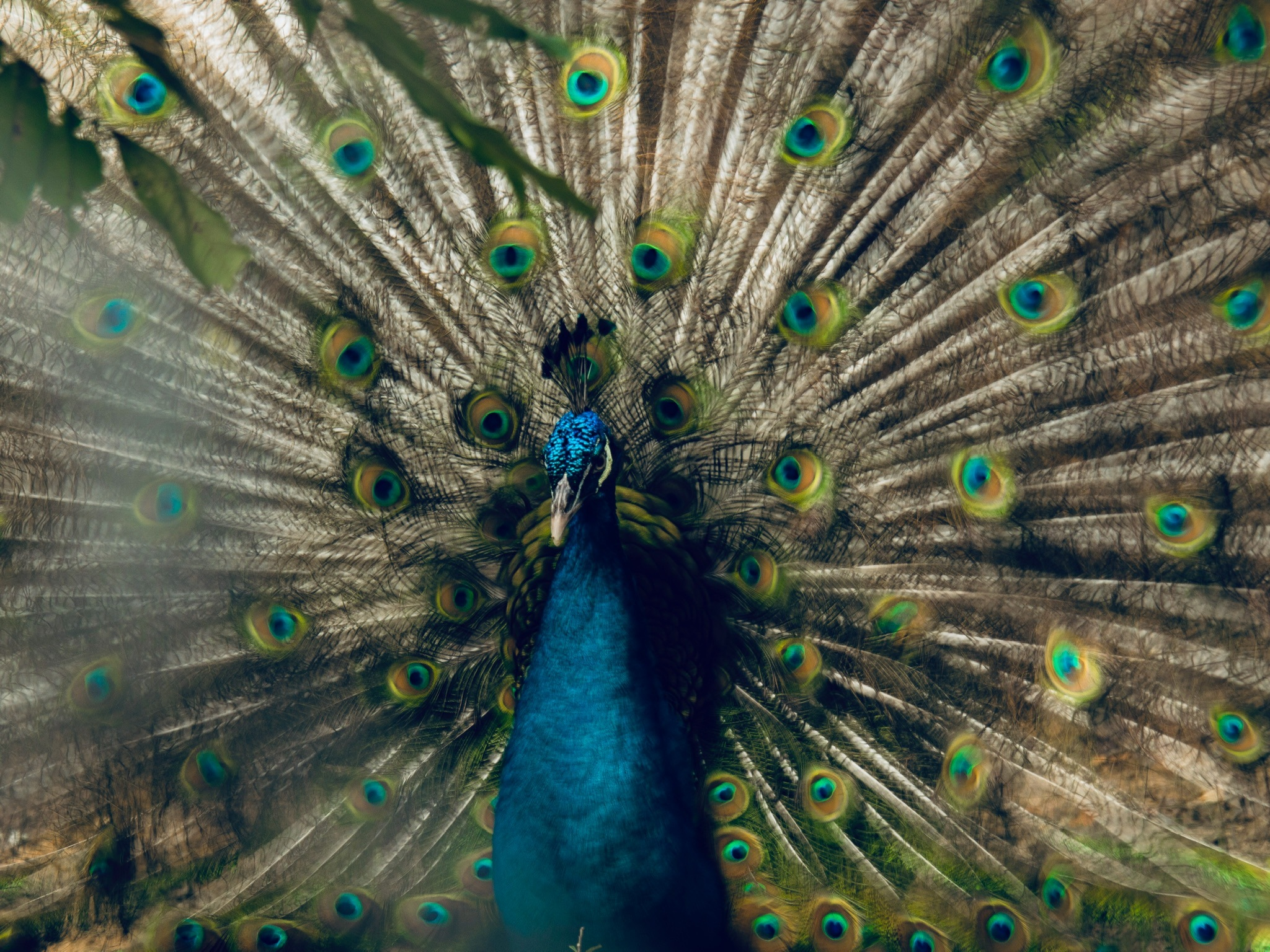 Photo in Animal #peacock #beauty #colors #blure #focus #animals #art #composition
