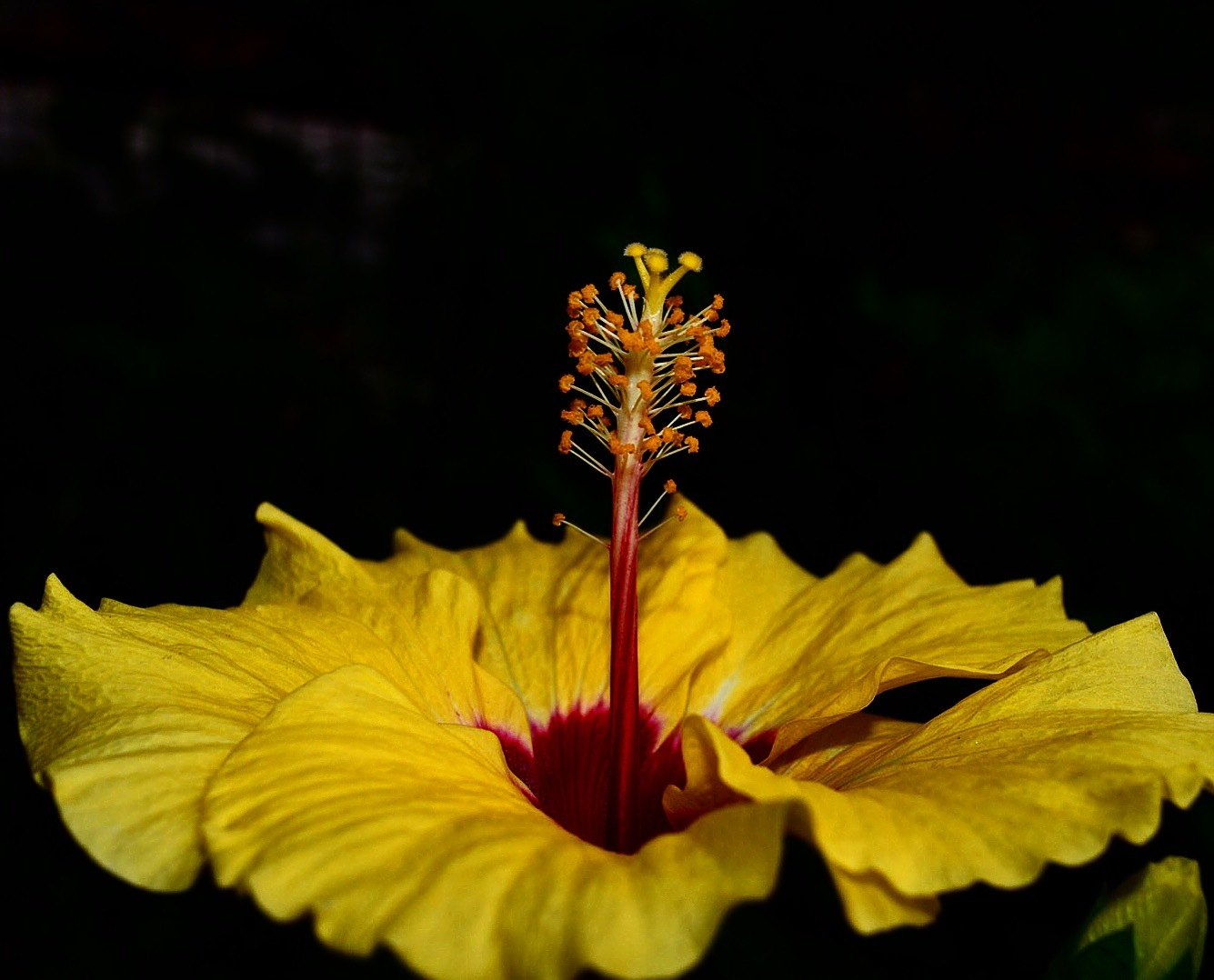 Hibiscus  by NN Photography
