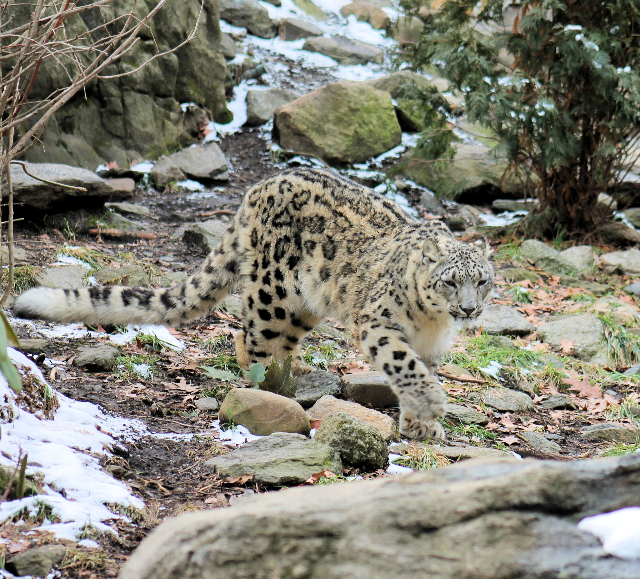 snow Leopard  by Abraham Sanchez