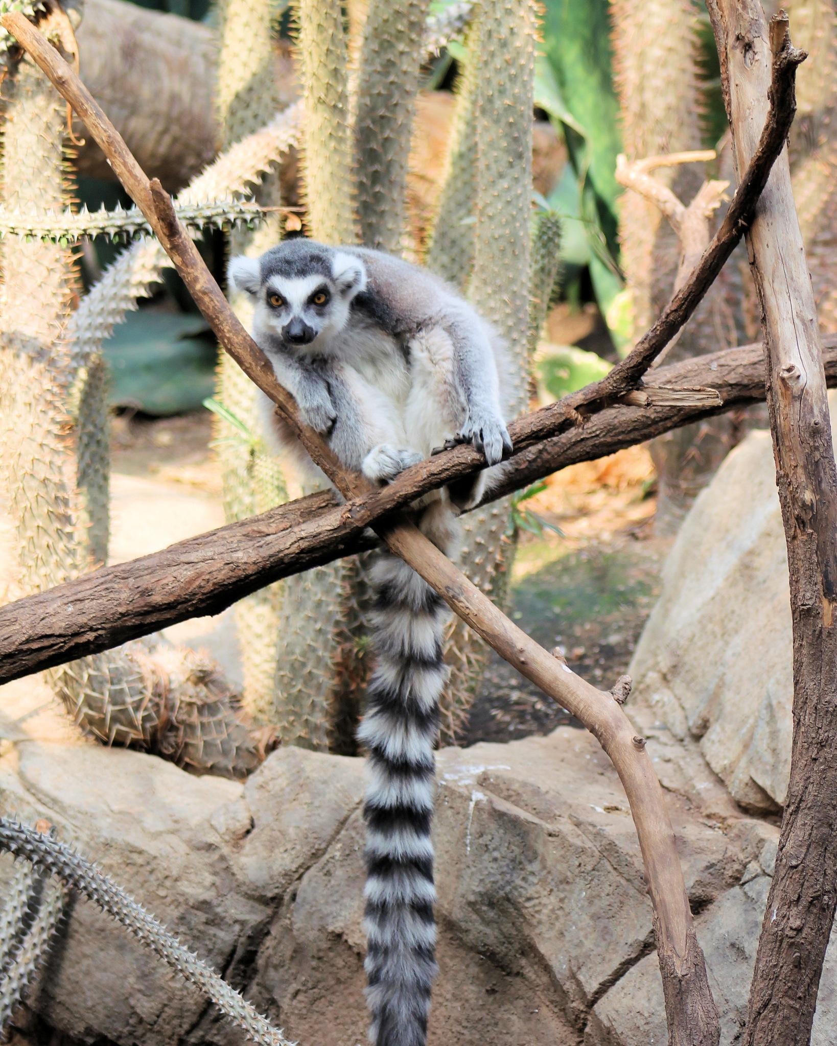 lemur by Abraham Sanchez