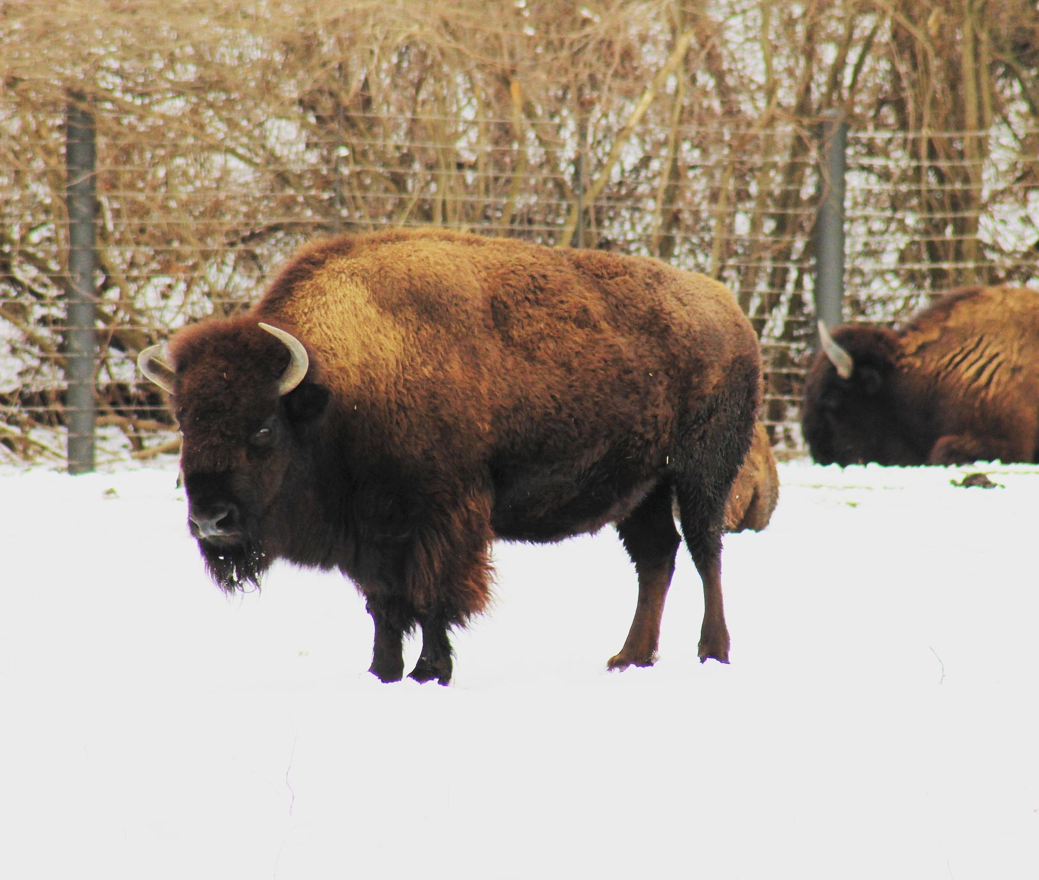 Buffalo  by Abraham Sanchez