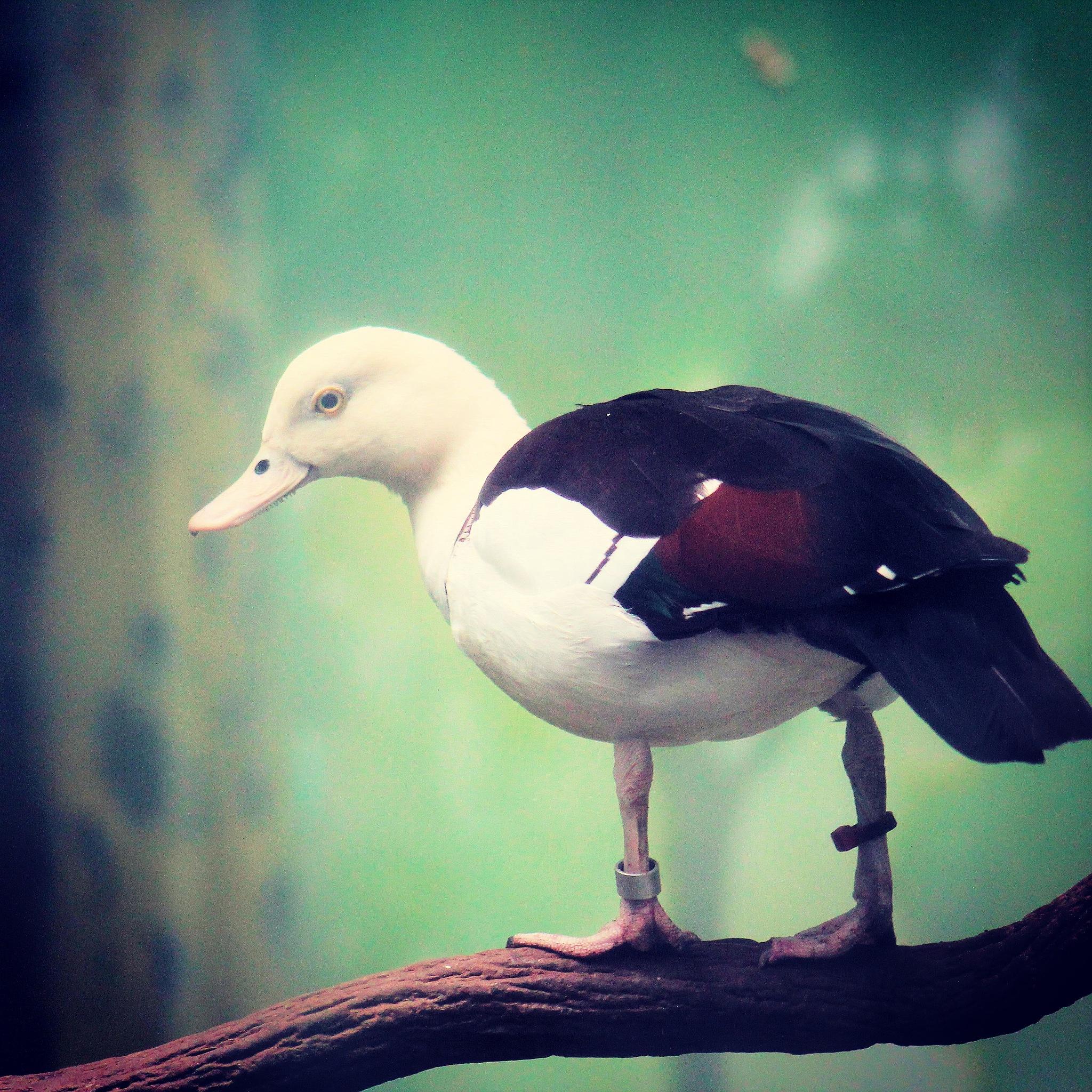 duck by Abraham Sanchez