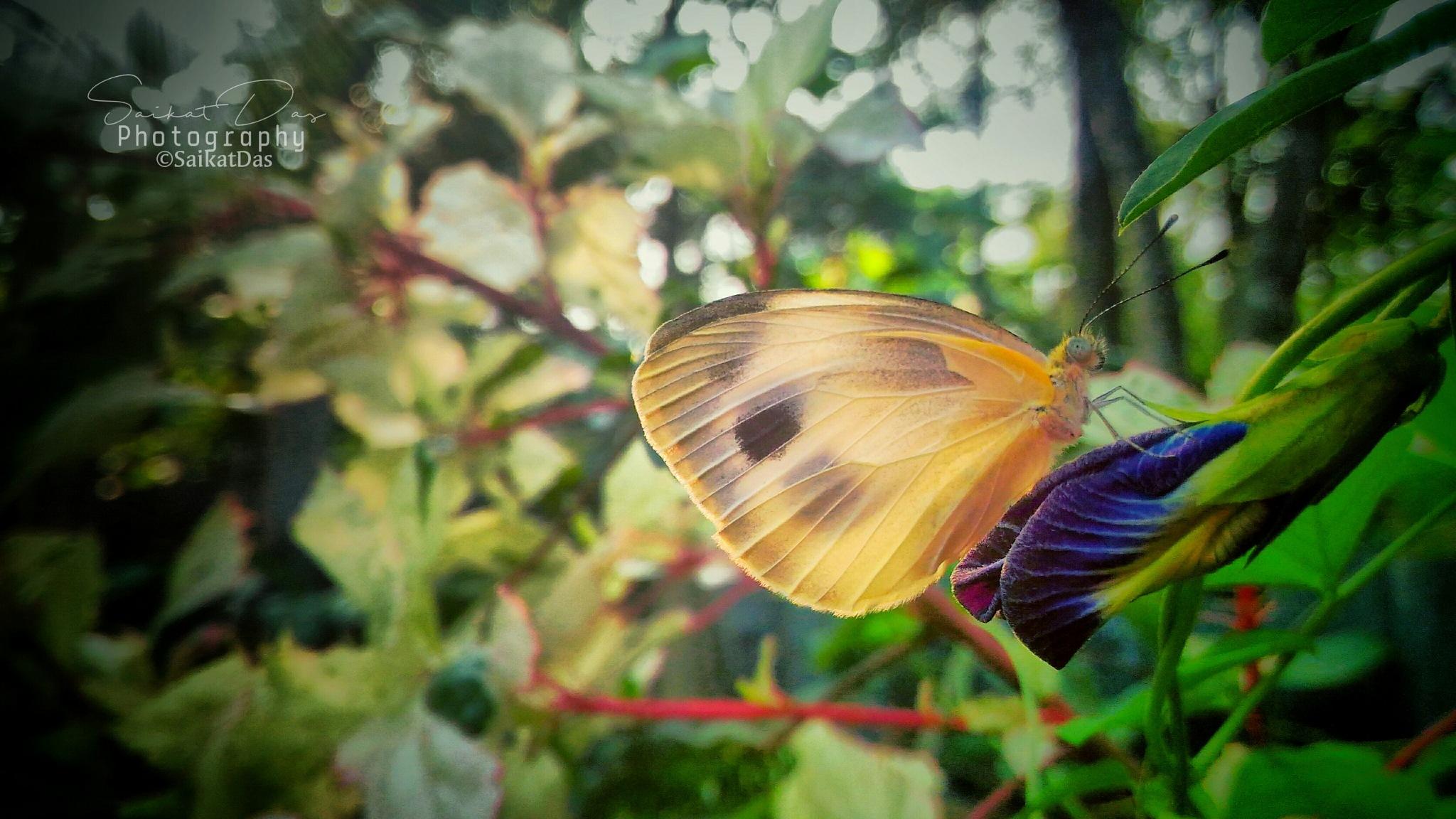Butterfly... by Saikat Das✅
