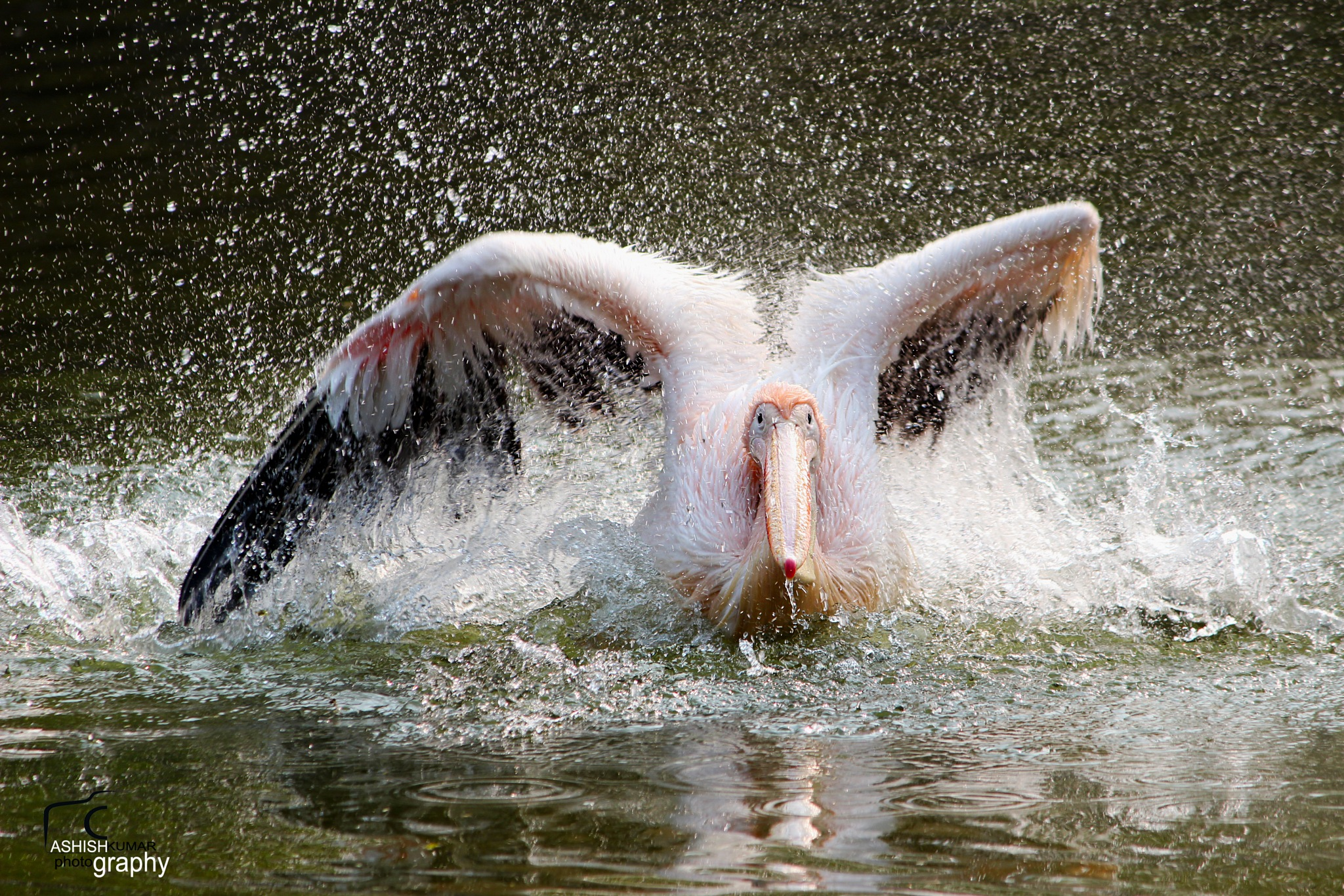 Great white pelican by Ashish Kumar Pandey