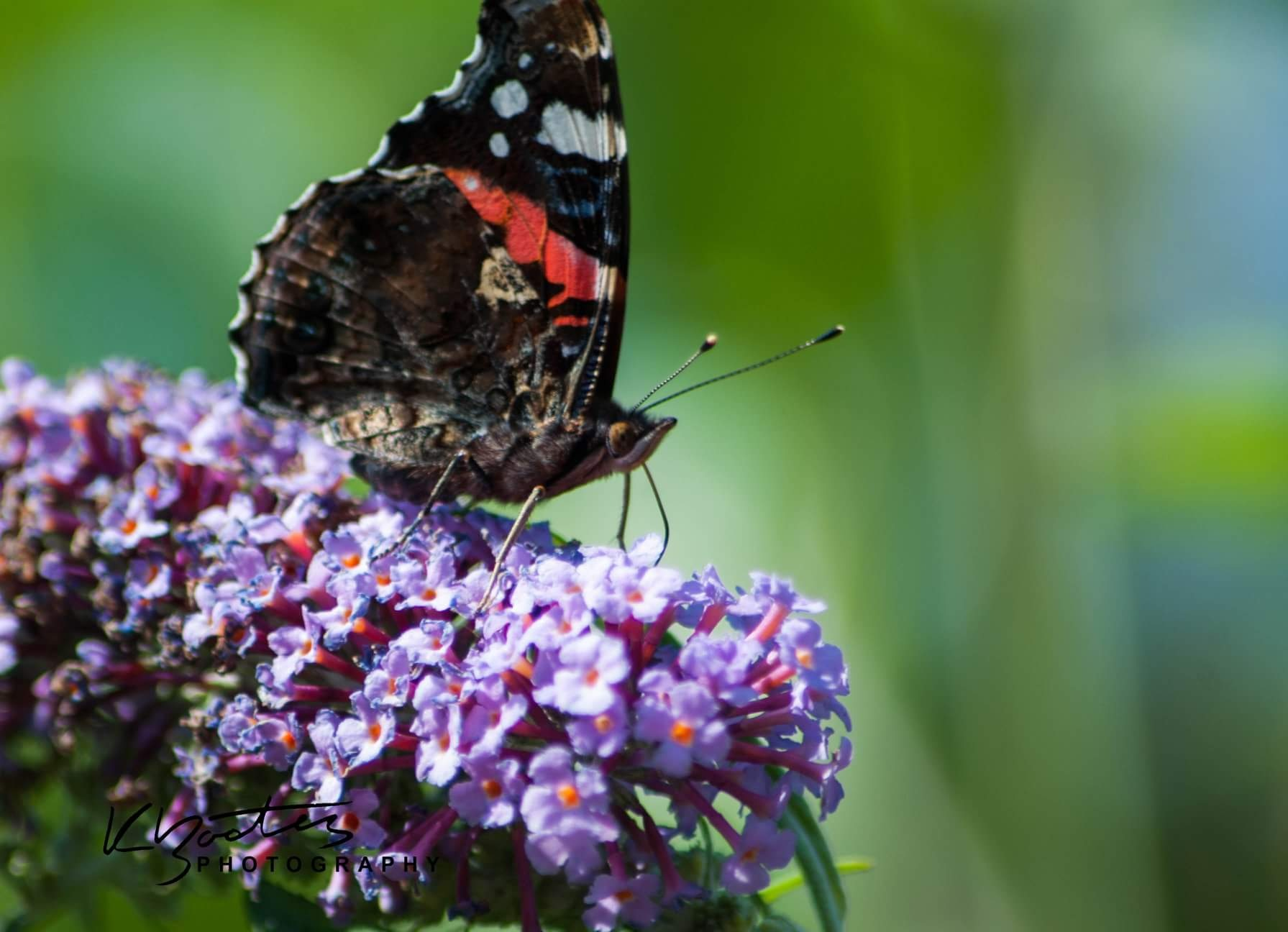 Red Admiral by Katie Bootes
