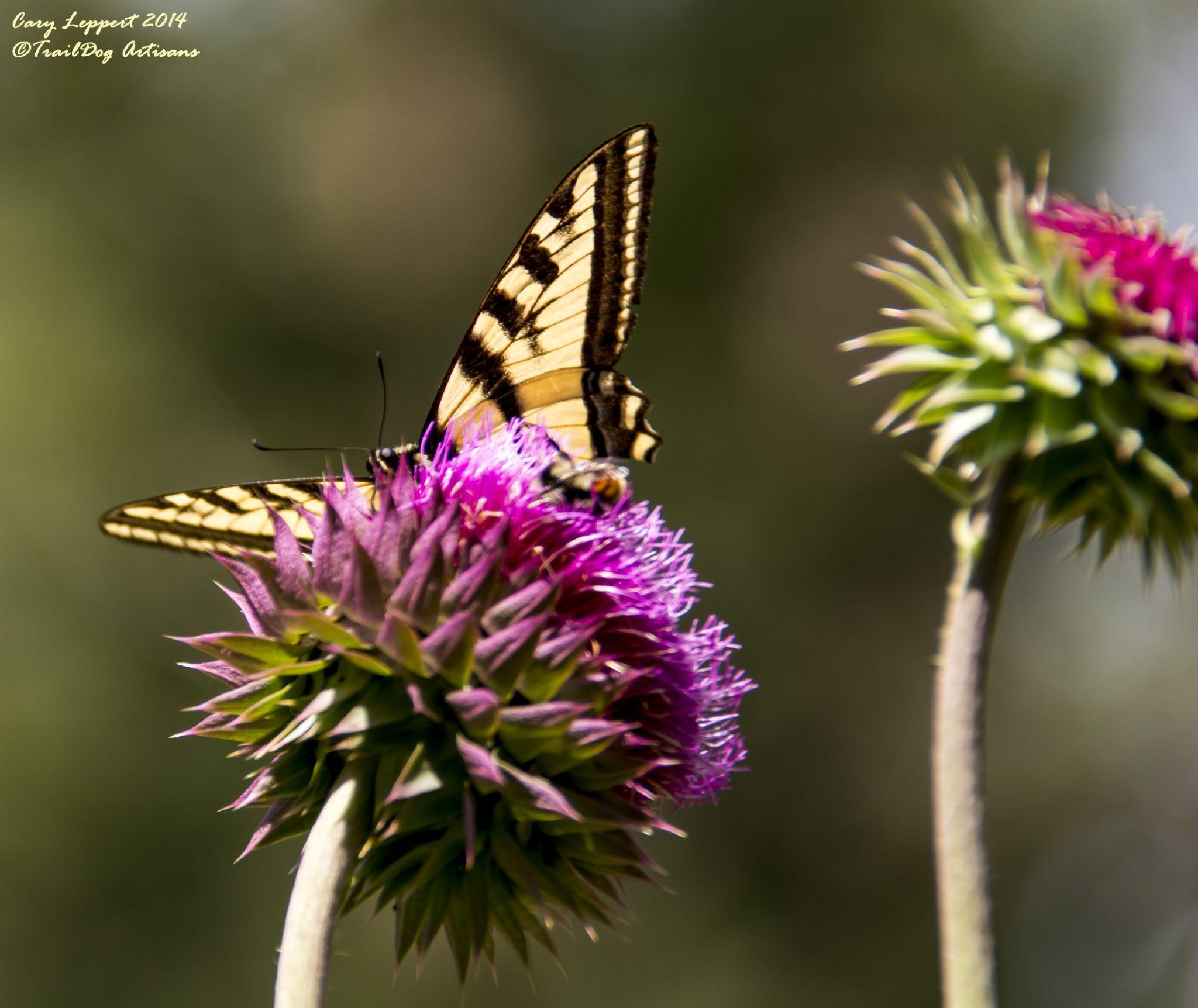 Peeking Monarch by Cary Leppert