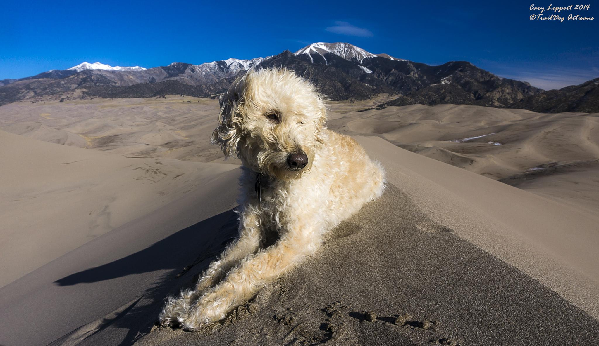 Labradoodle on Crest of Dune by Cary Leppert
