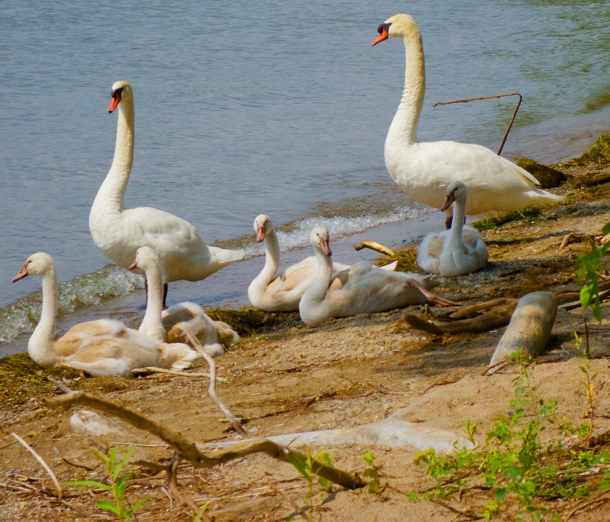 Goslings protected by Mom and Dad, Ward's Island by Karen Bekker