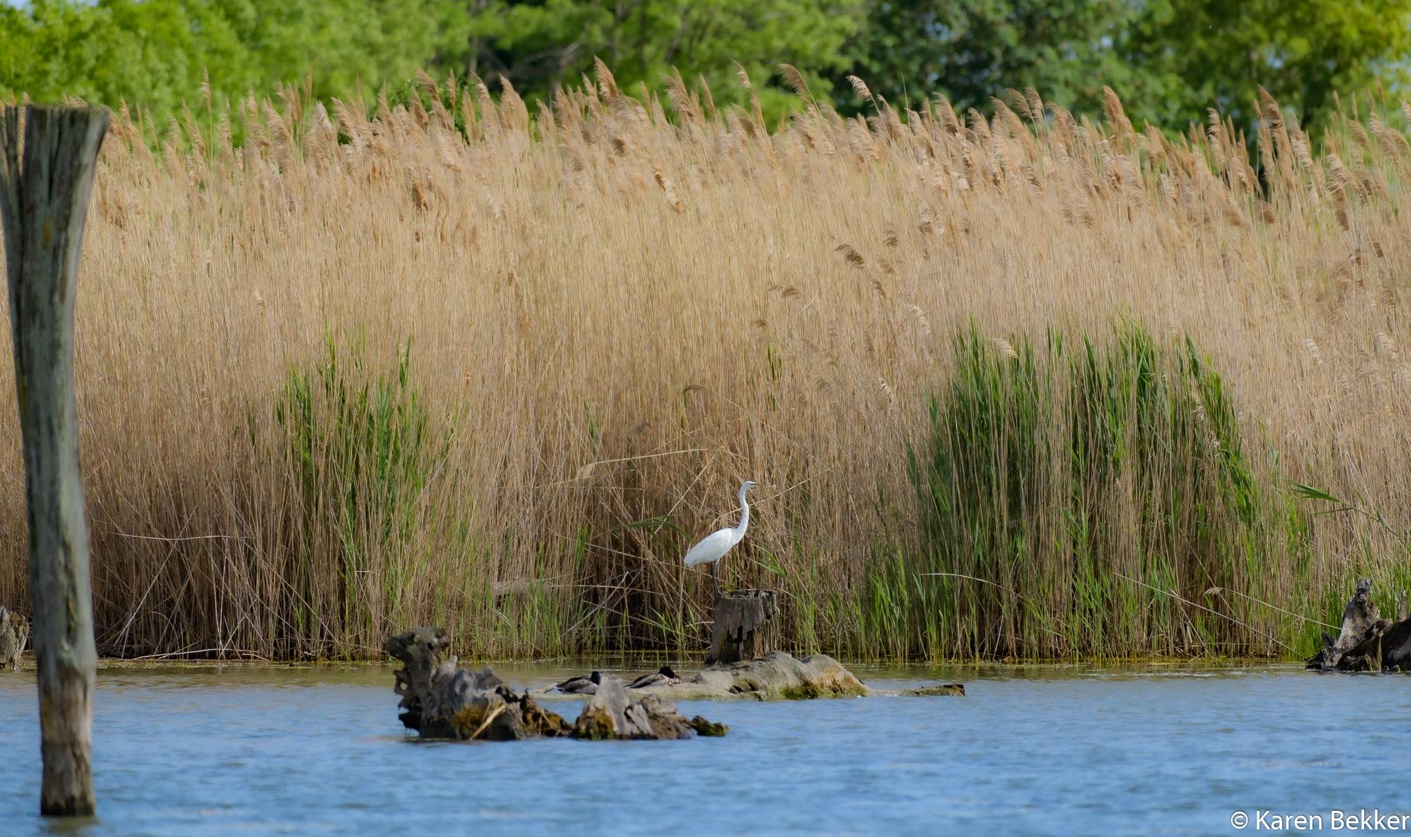 Egret, Tommy Thompson Park by Karen Bekker