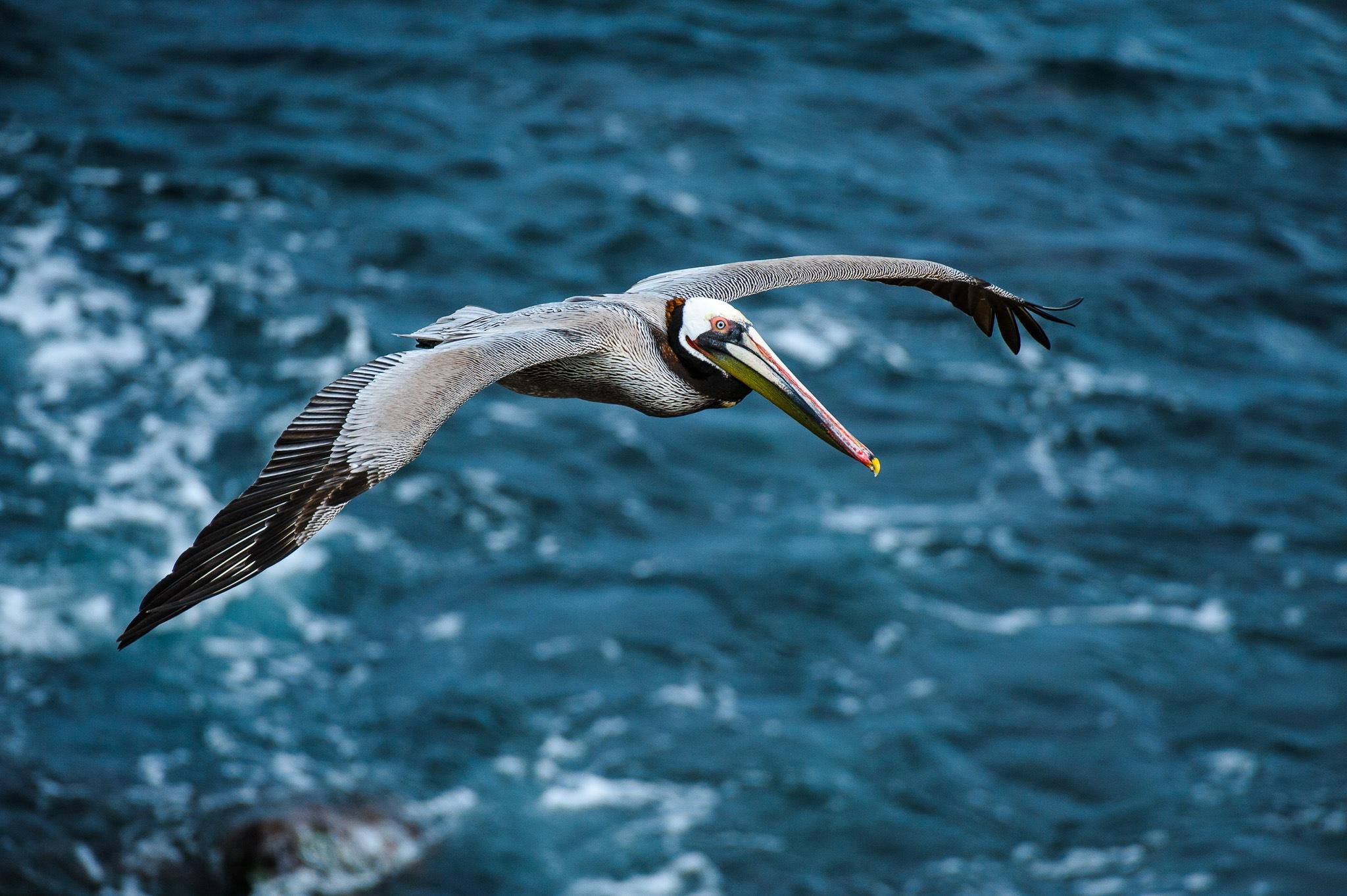 Brown Pelican by Karen Bekker