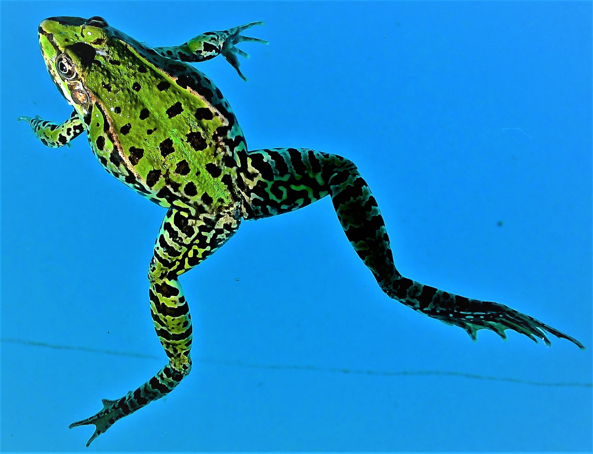 Swimming in the pool with a Tuscan Frog by Karen Bekker