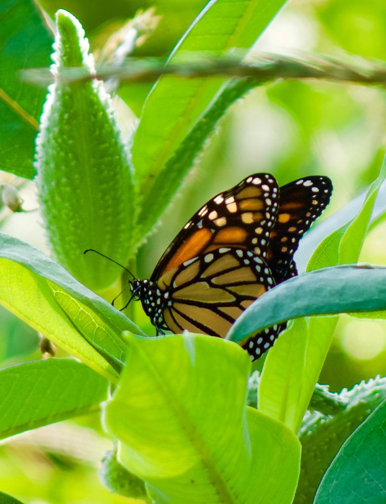 Monarch butterfly on milkweed pod by Karen Bekker