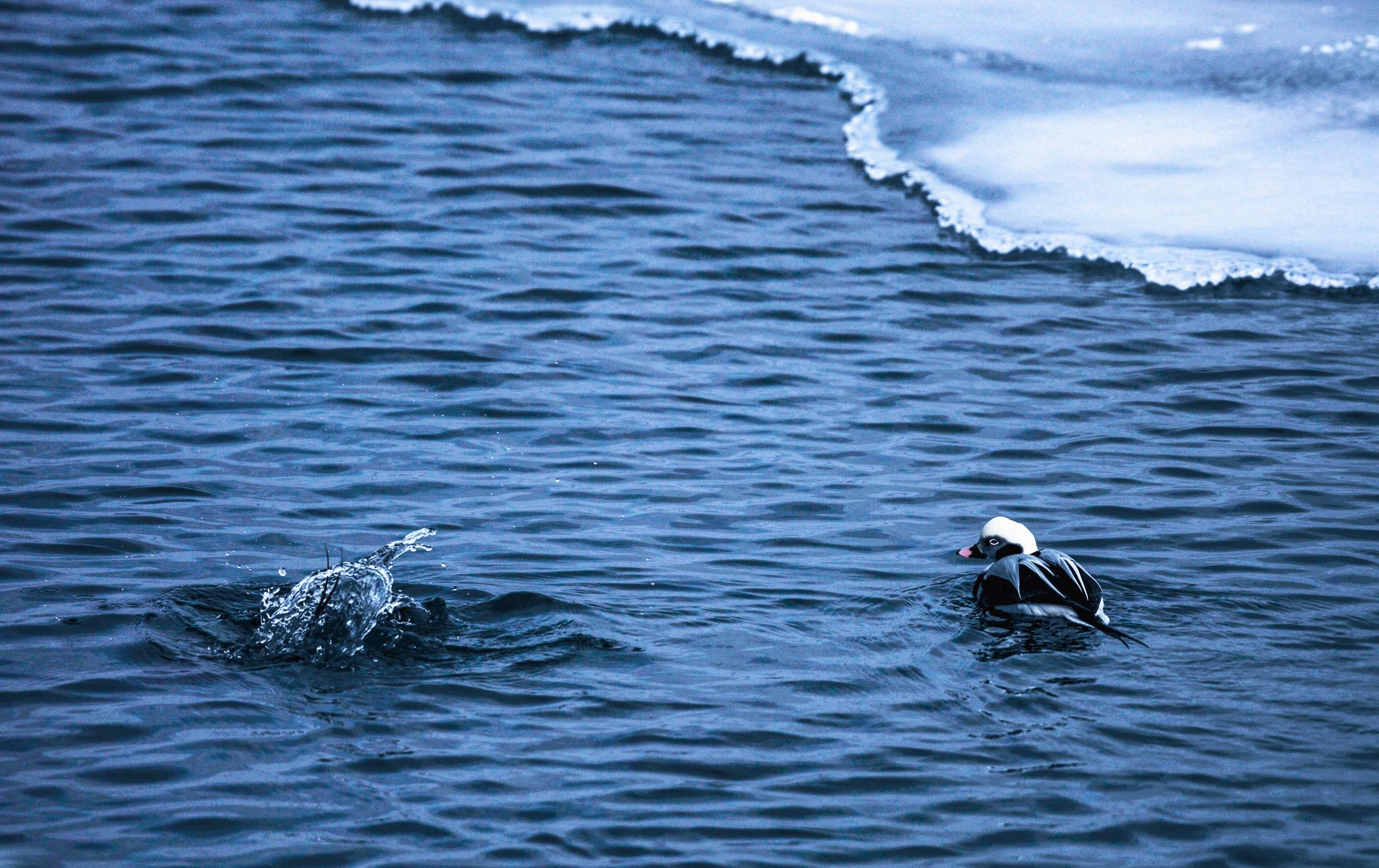 Long Tail Duck observing his mate diving by Karen Bekker