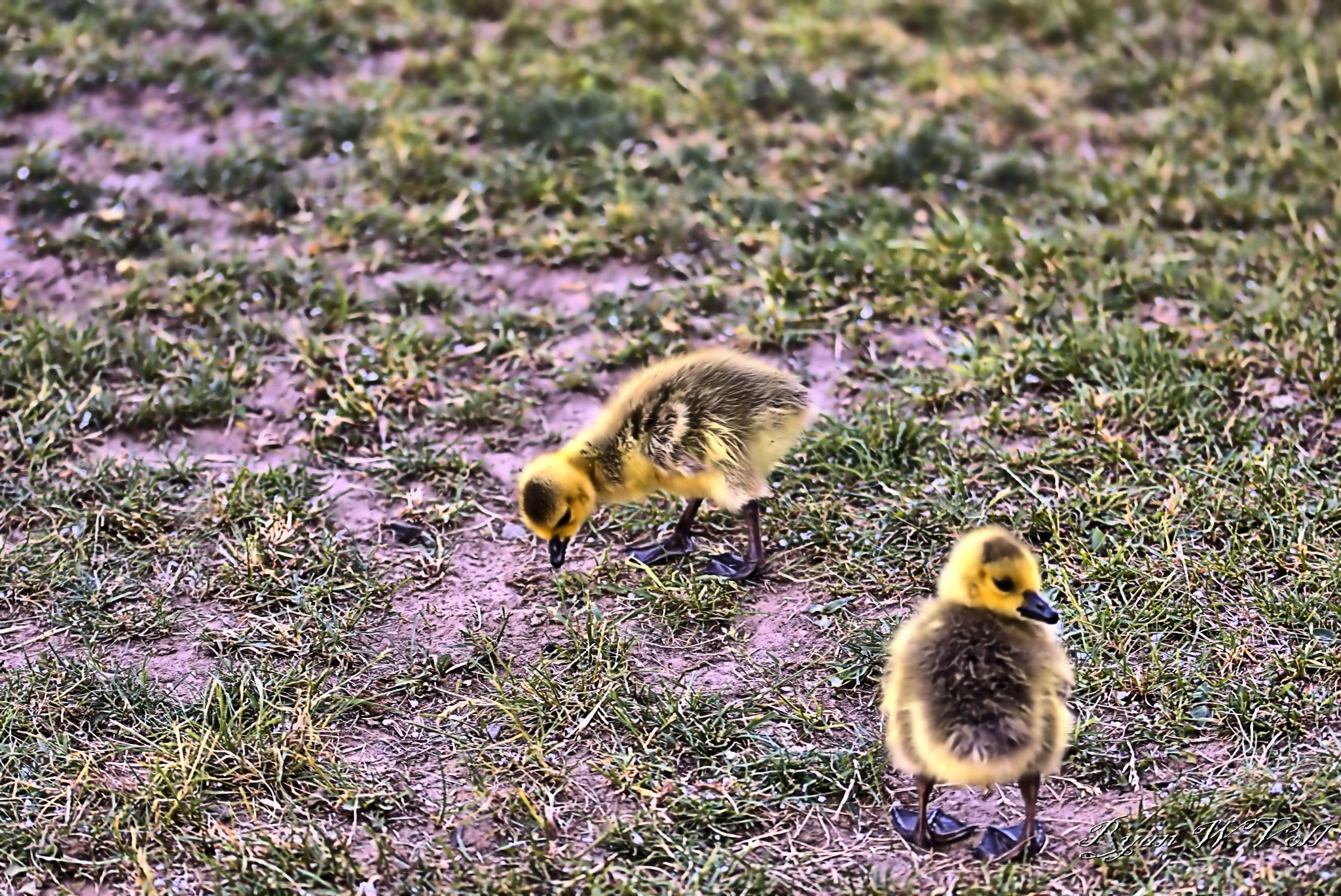 Canadian Geese Babies by Ryan William Voll