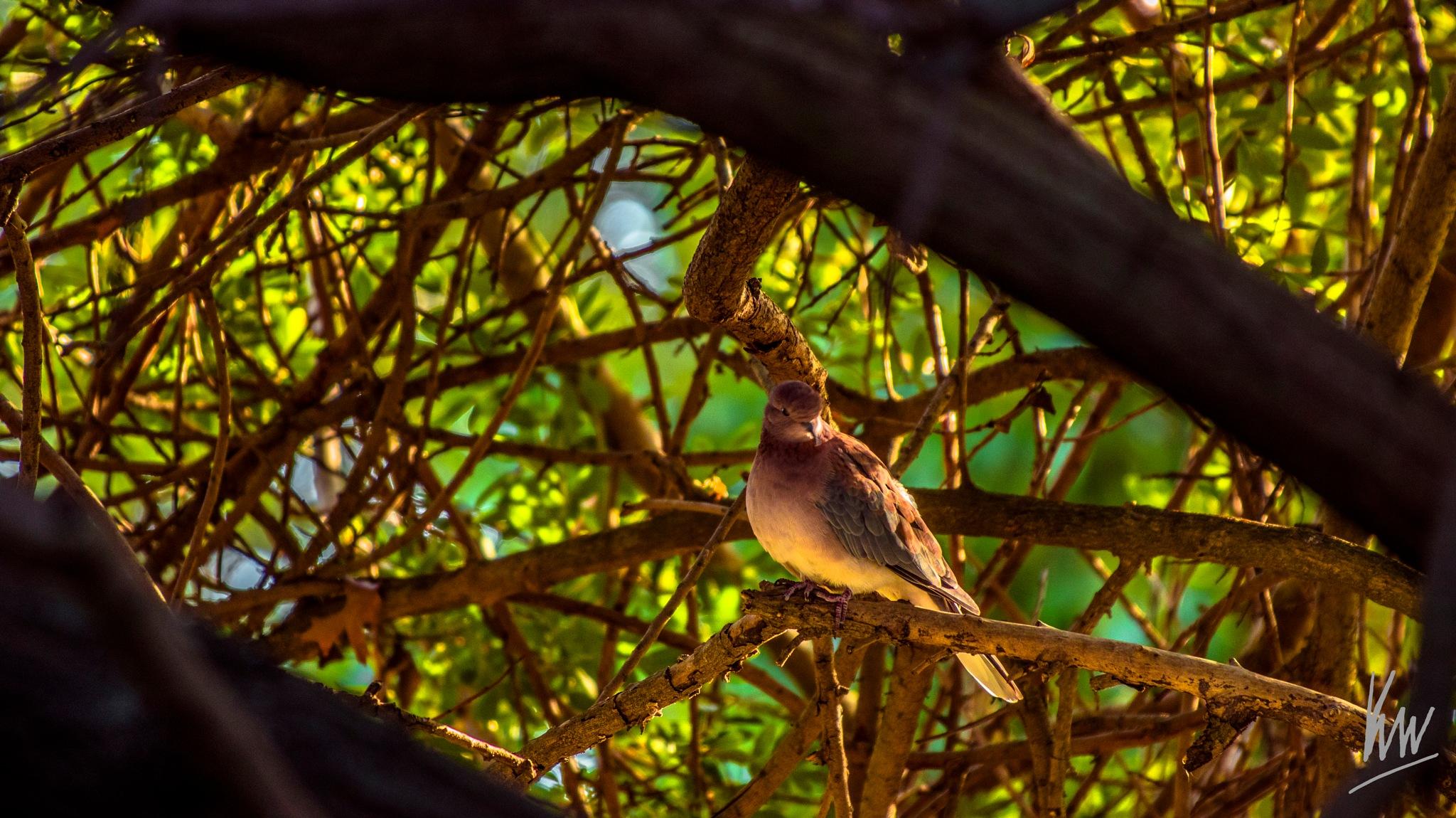 Dove by Ken Ward