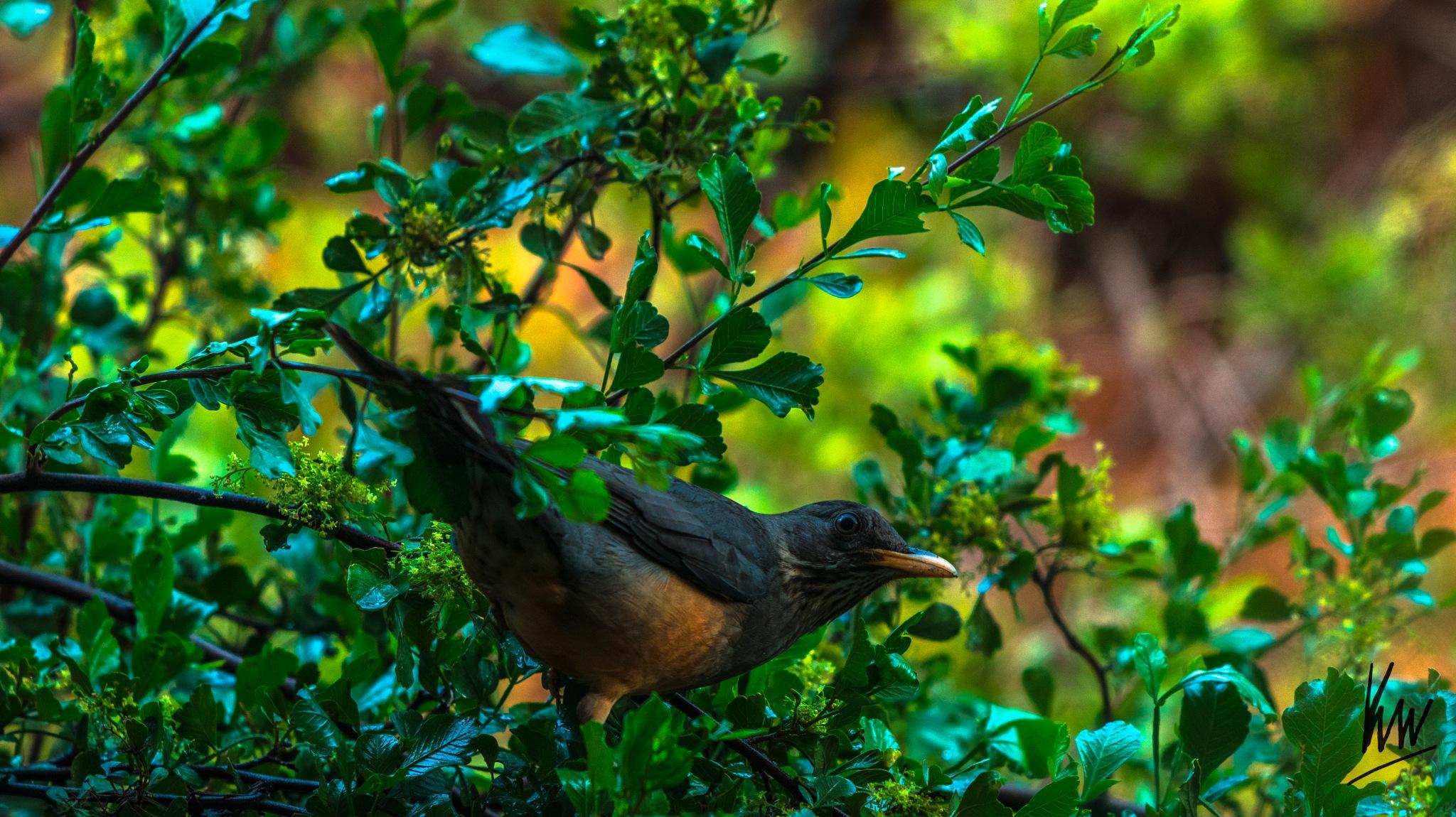 Robin by Ken Ward