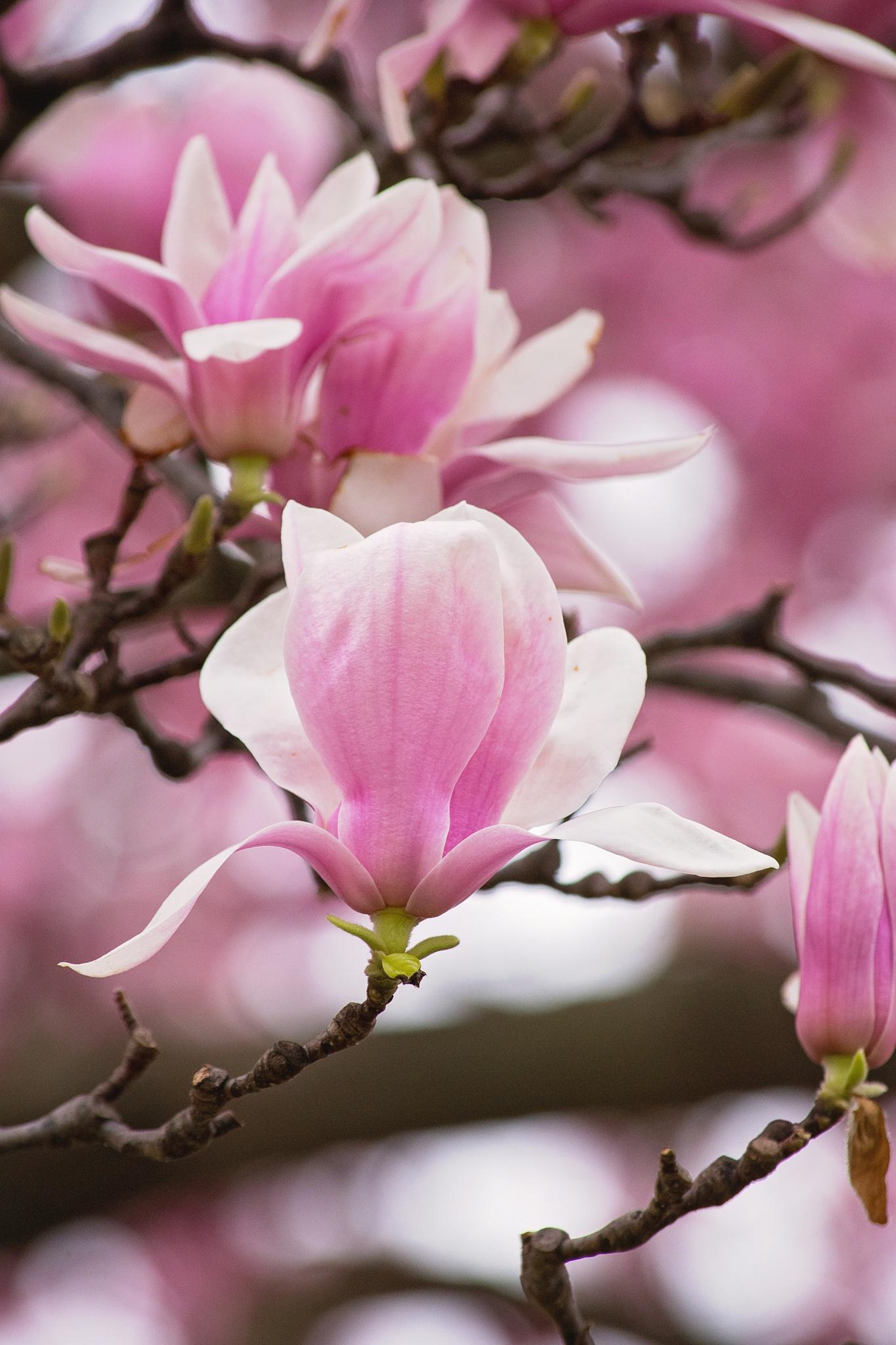 Magnolia Tree by Elizabeth Funes