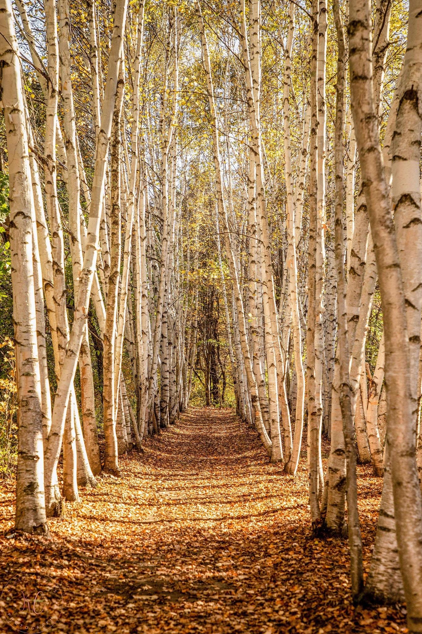Endless birches fall by Karen Cowles
