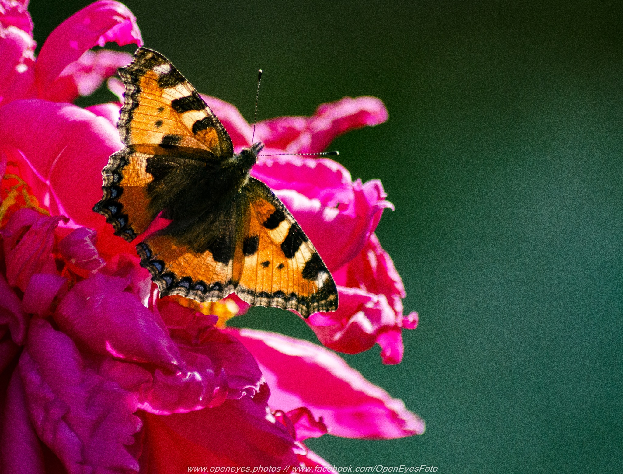 Butterfly by Alexander Conrad