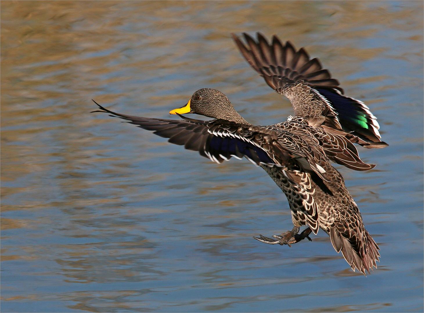 Yellow-billed duck landing approach by Johann Harmse