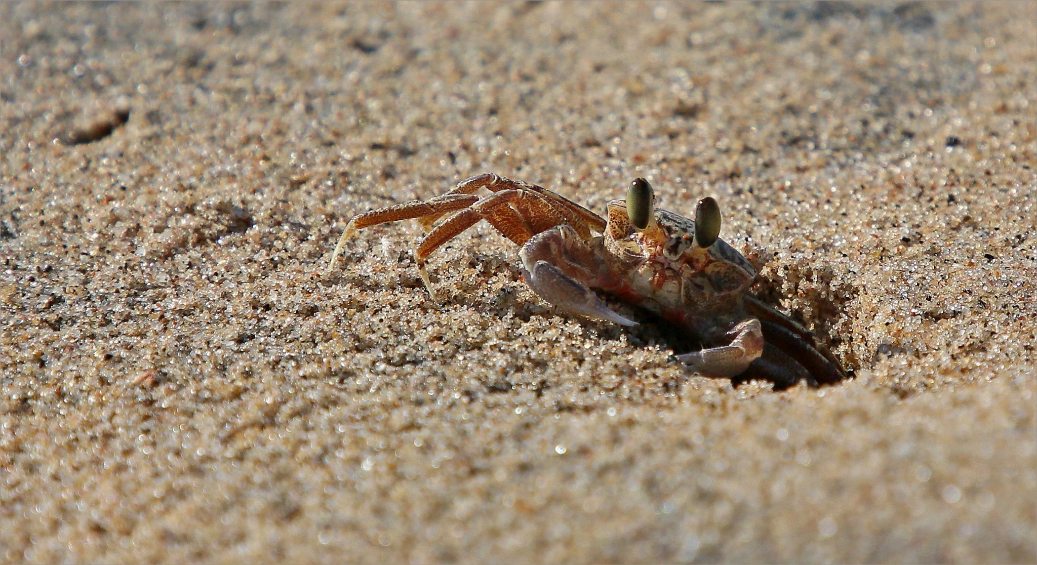 Little crab by Johann Harmse