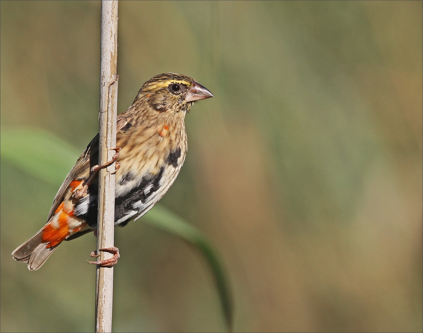 Southern red bishop by Johann Harmse
