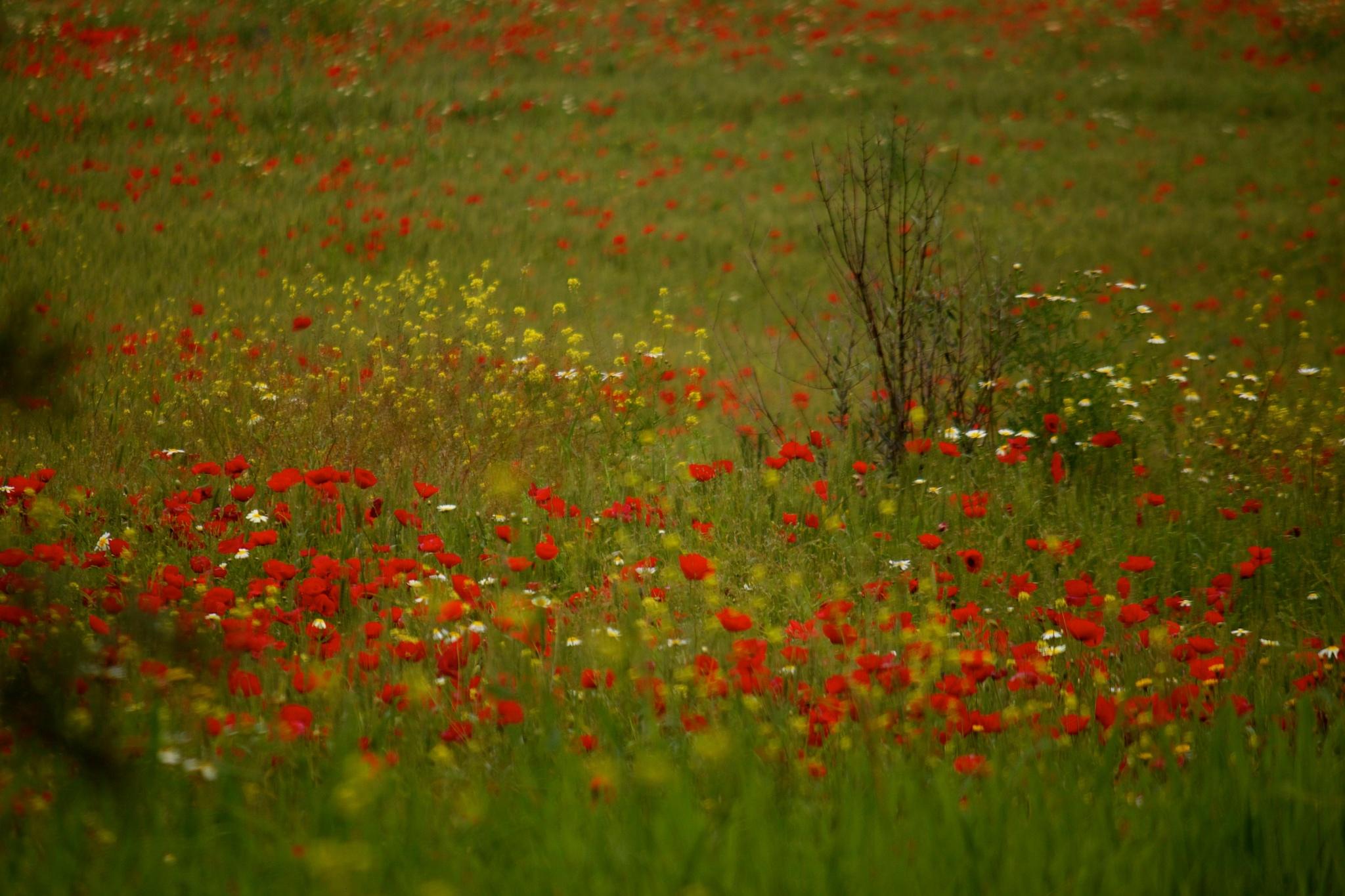 Photo in Nature #printemps #coquelicots #morocco #maroc #fleux #flowers