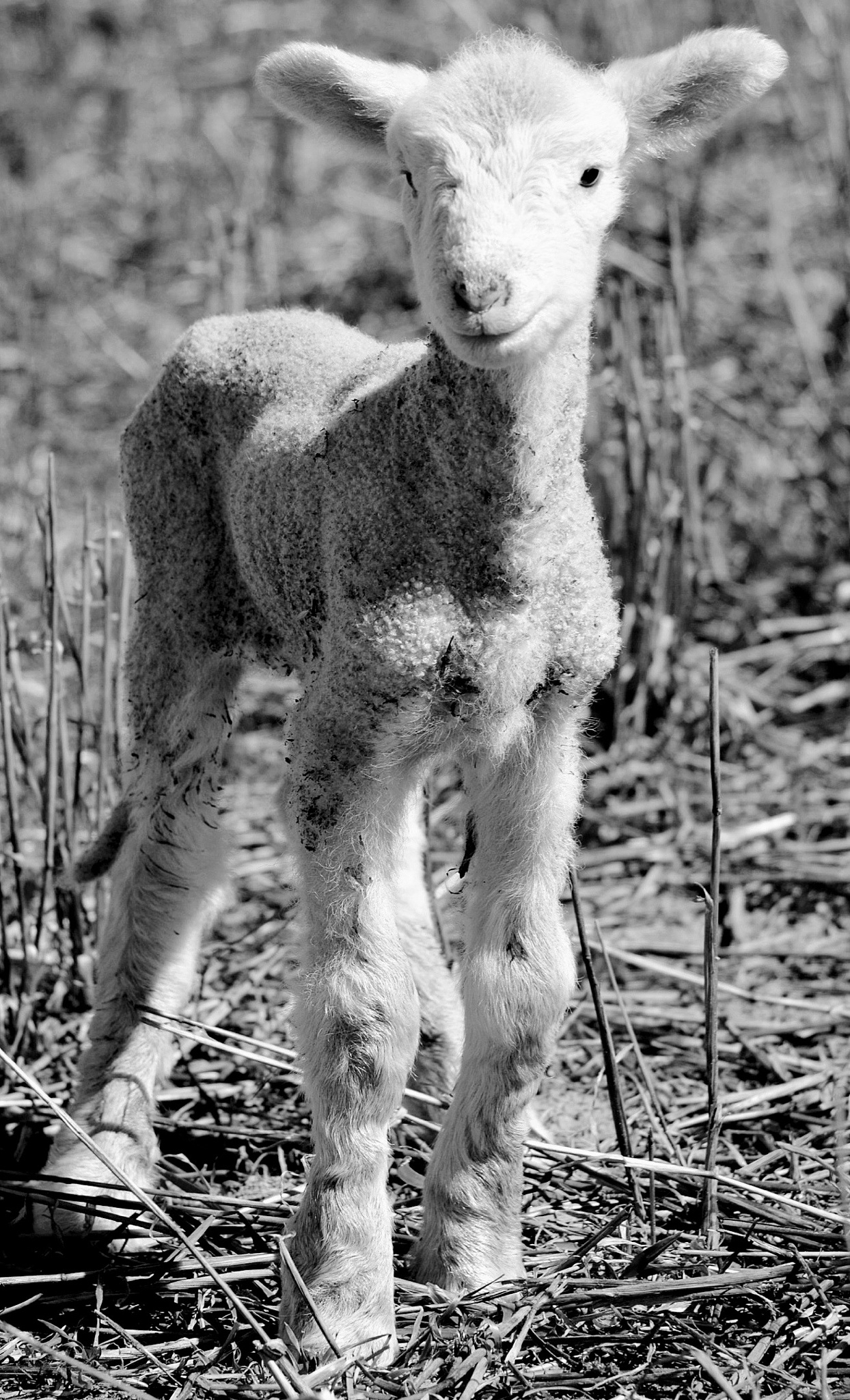Lamb II by Anika