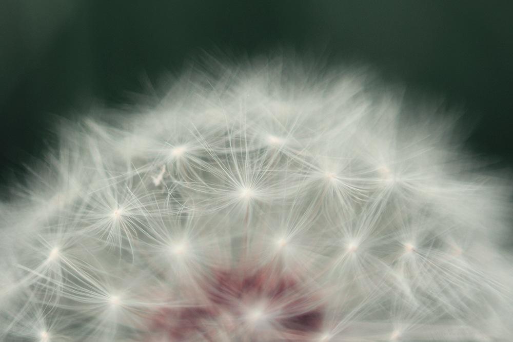 Dandelion by Barbara Crols