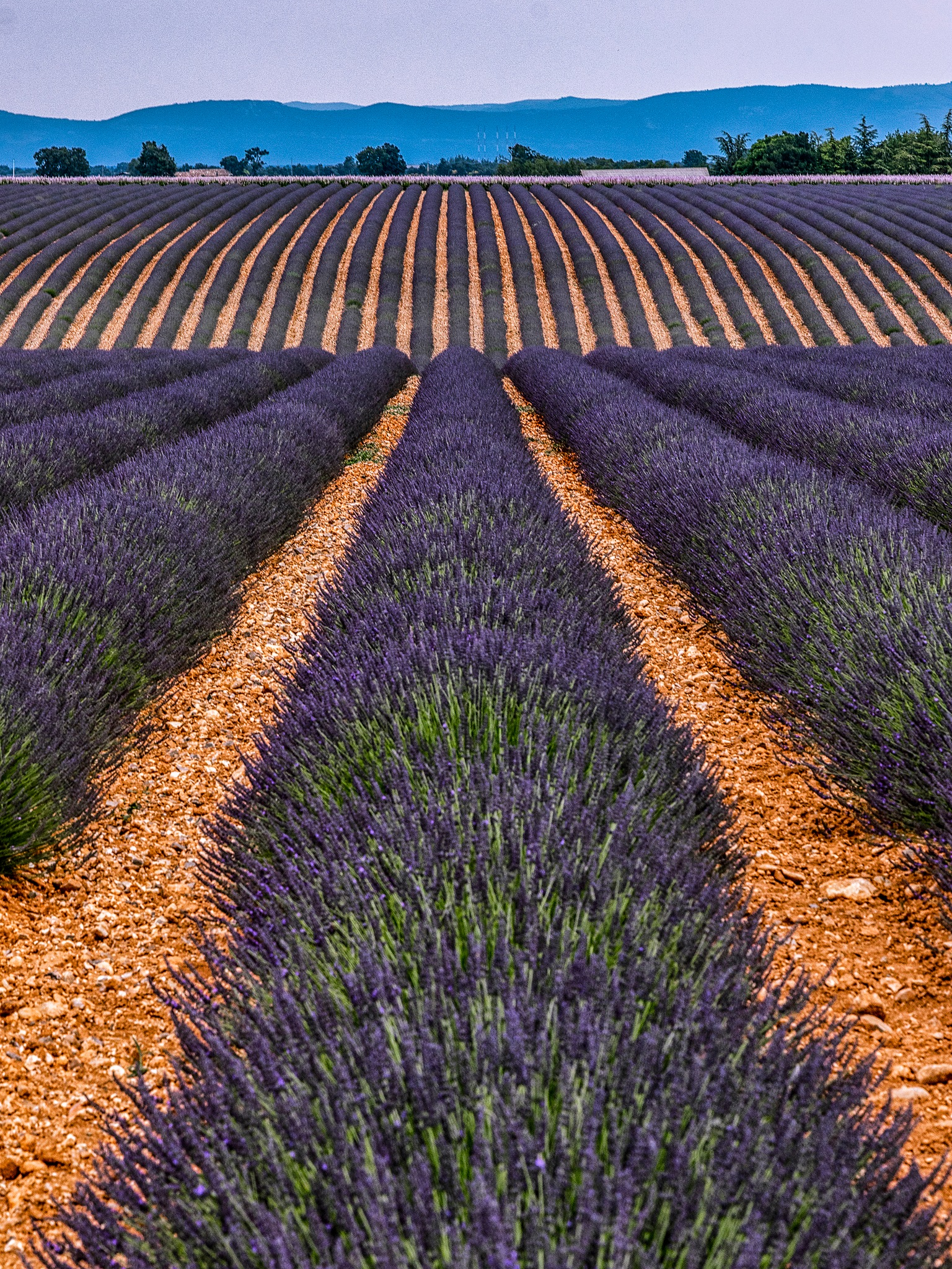 Lavender Lines by Henk Smit
