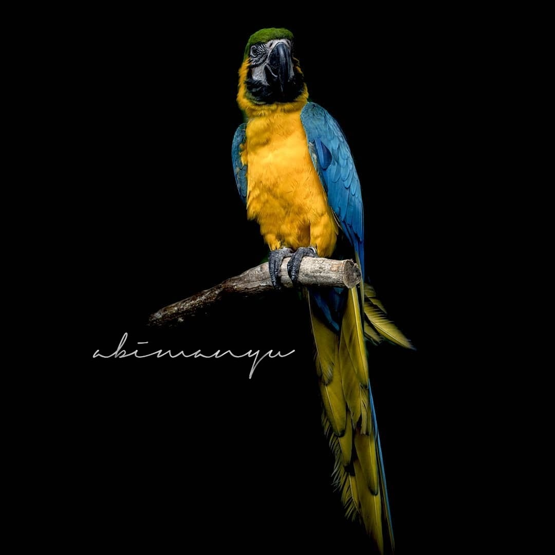 The Blue and Yellow Macaw by 🇮🇩 abimanyu