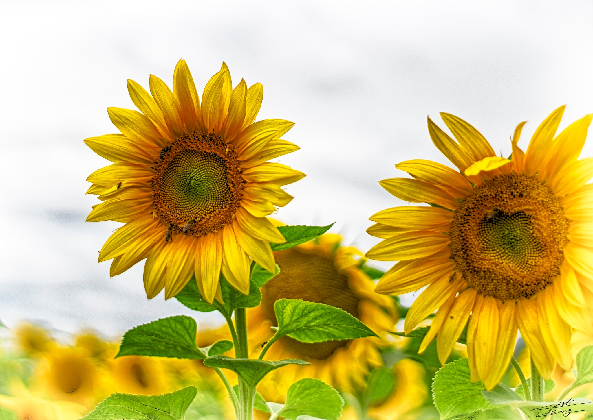 Sunflower by Cristi Grig