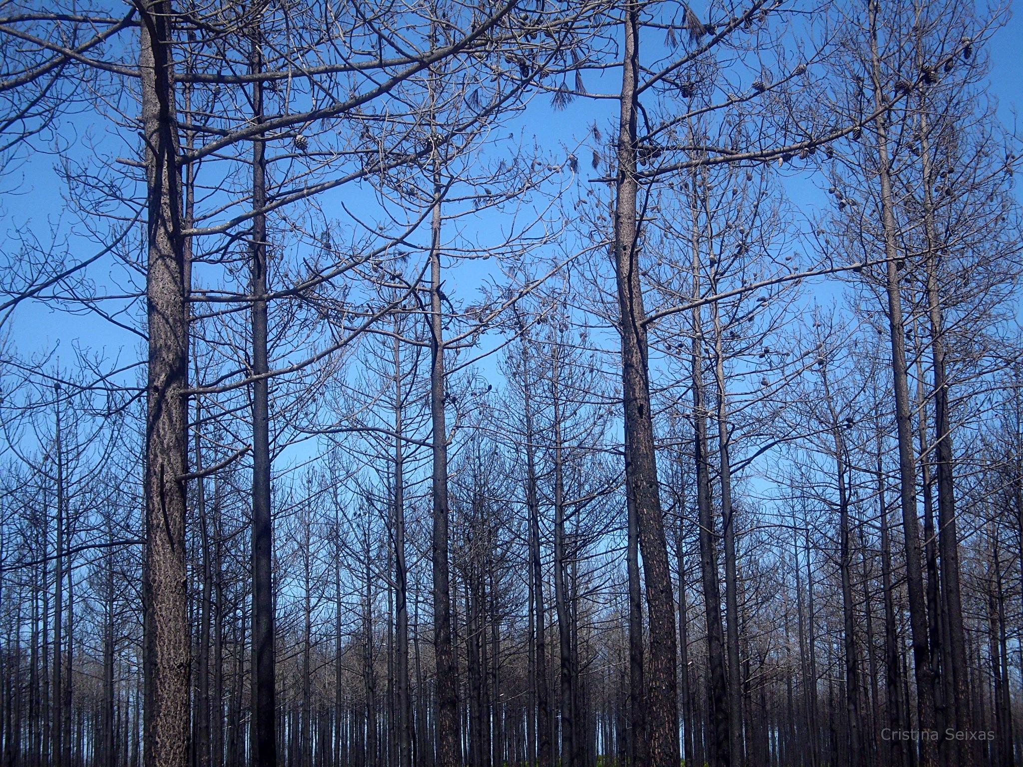 Pine trees by CristinaSeixas