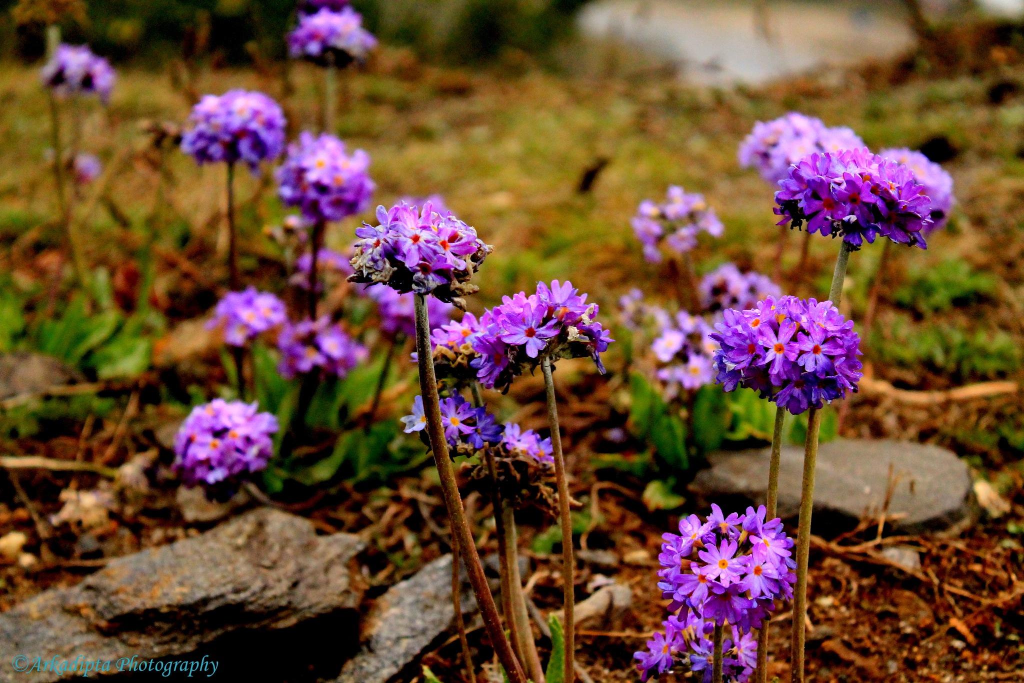 Wild inflorescence flowers by Arkadipta Chandra