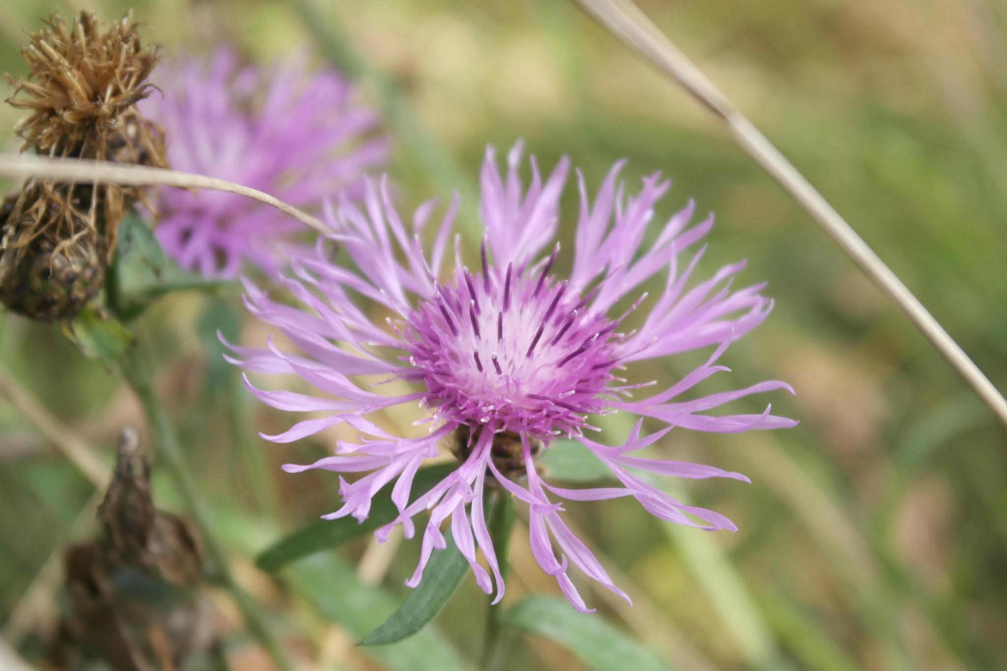 Kwiat osty by   Ewa