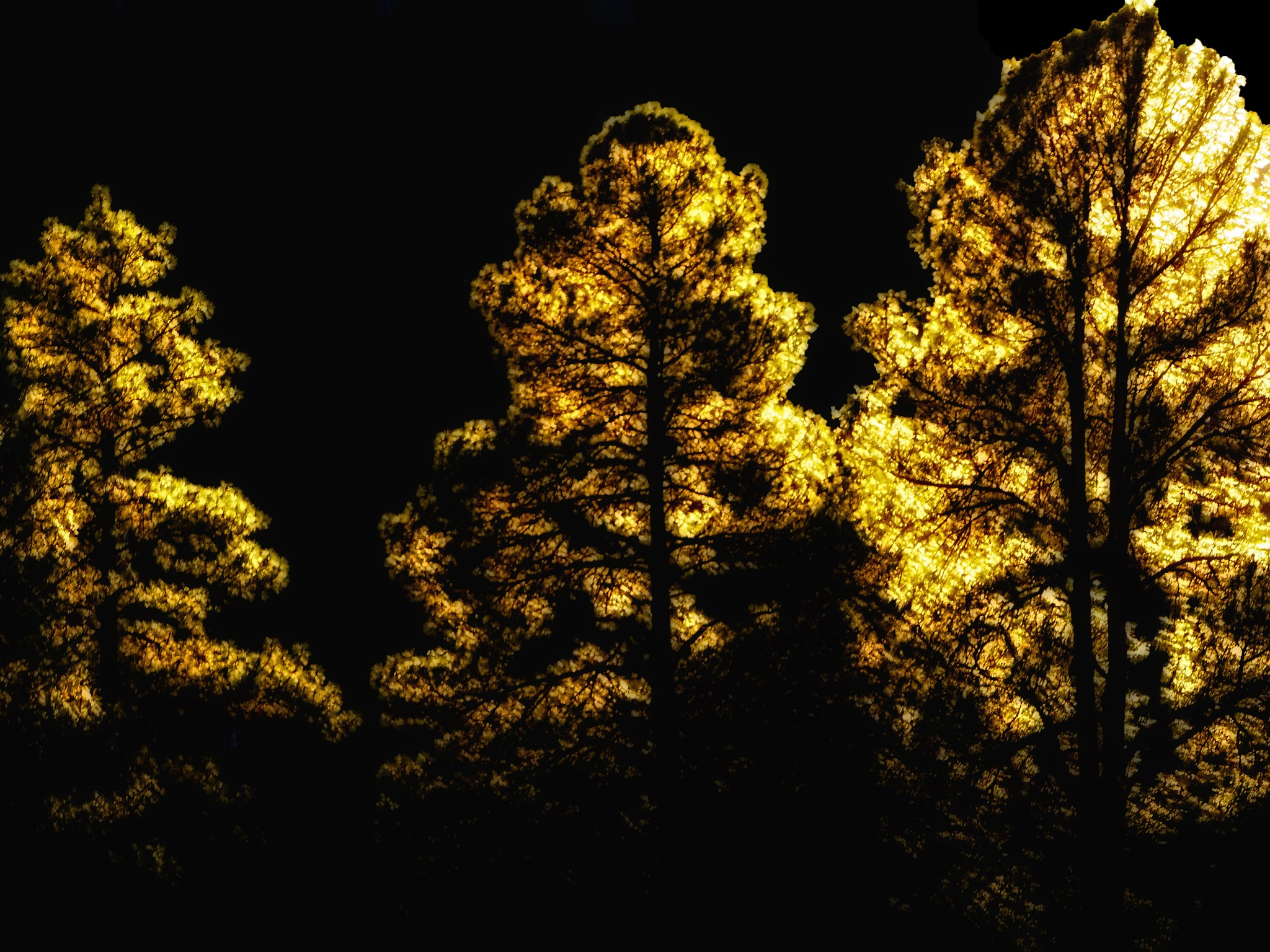 Backlit Pines by David Walters