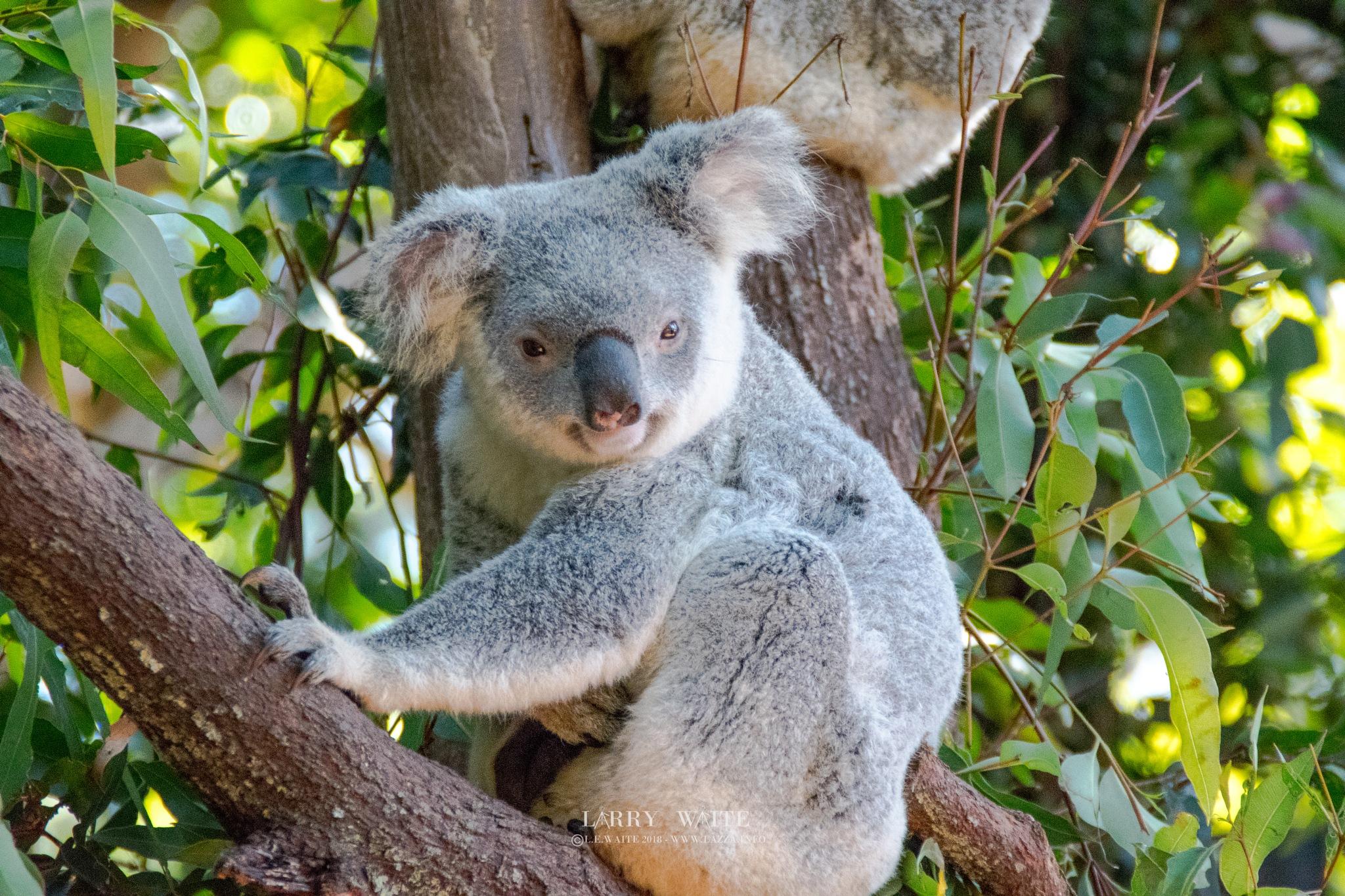 Mrs Koala by Larry Waite