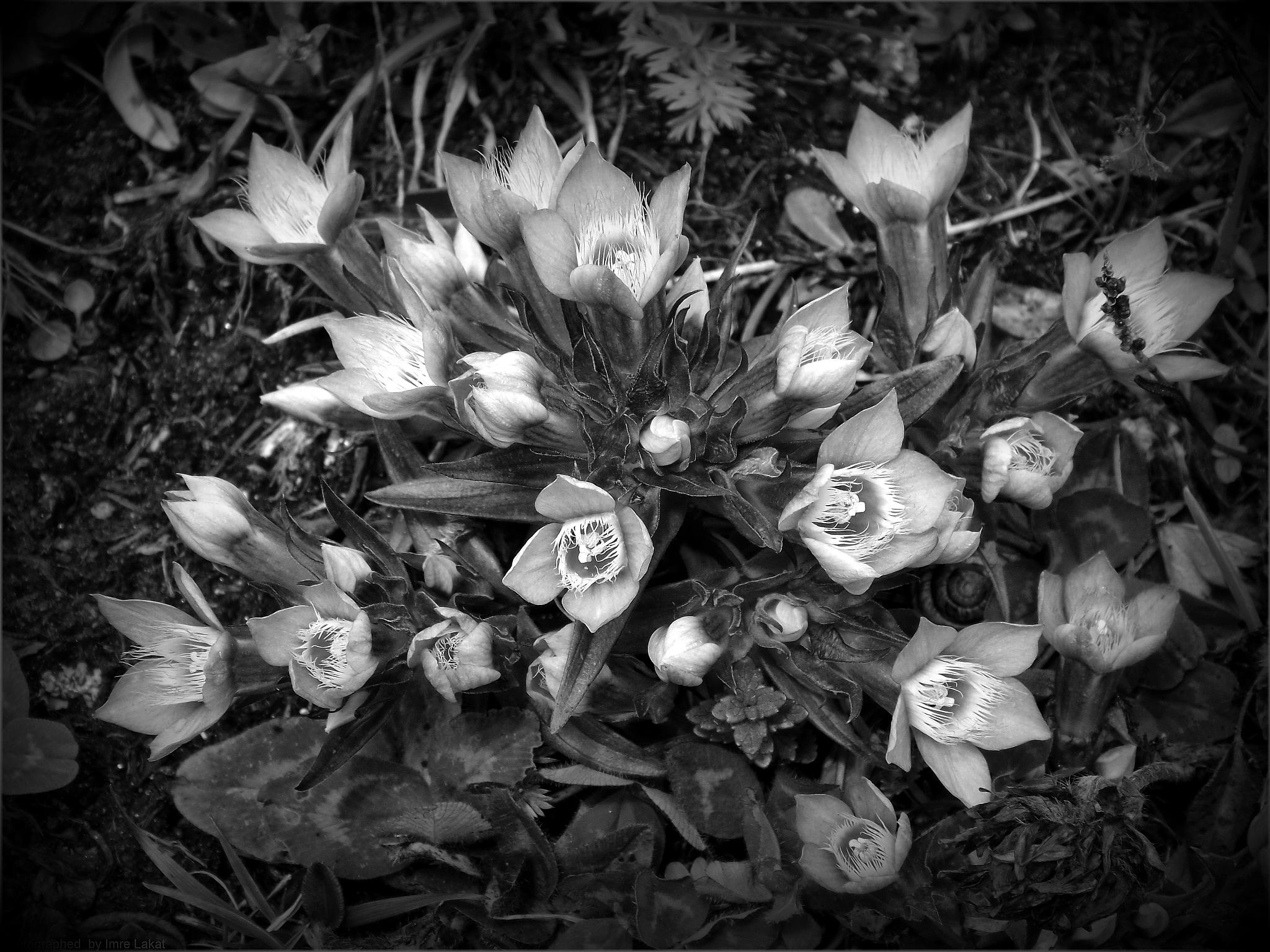 Alpen Wild Flowers , Edelweißspitze  by Imre-Lakat