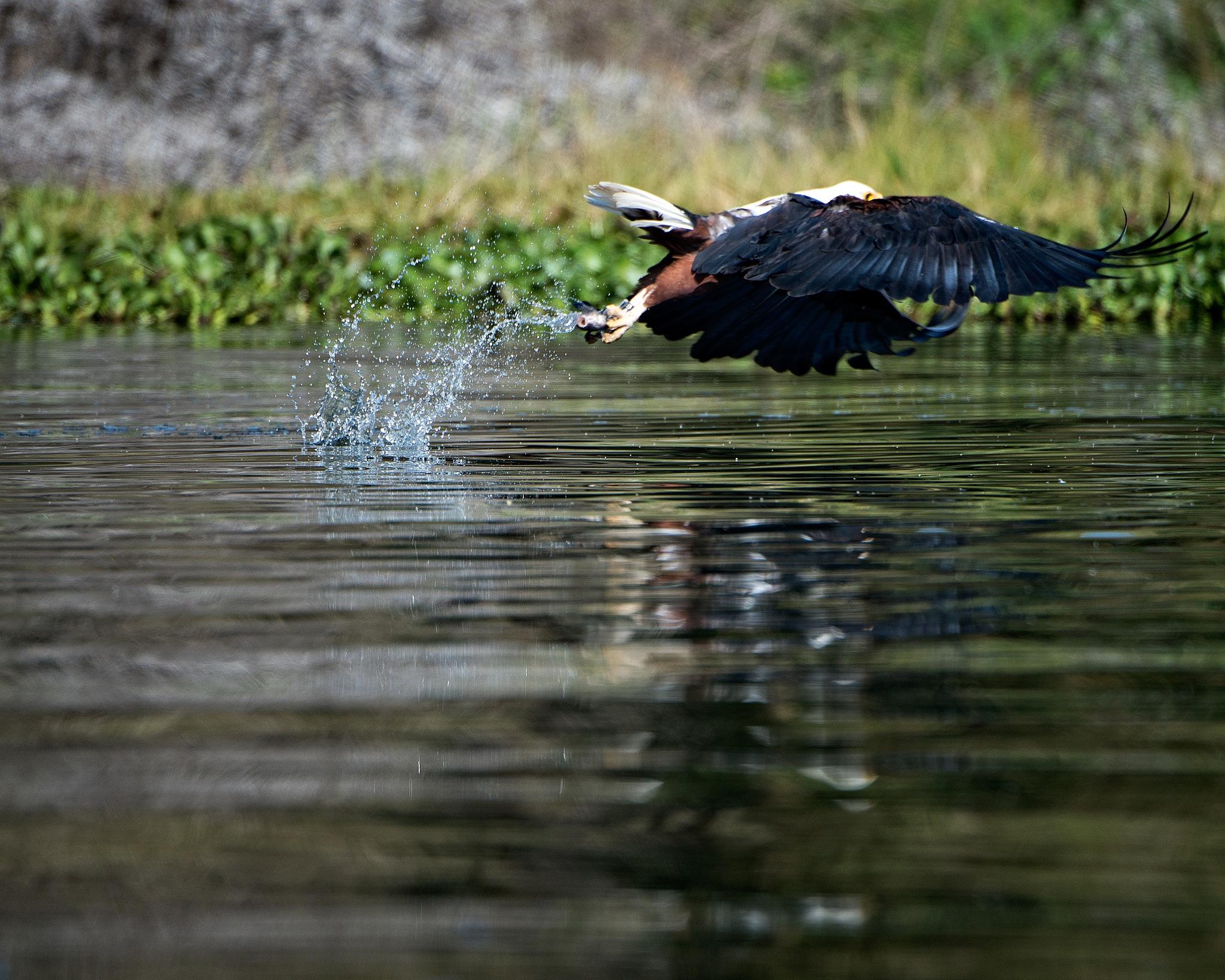 African Fish Eagle 2 by Gordon Charlton