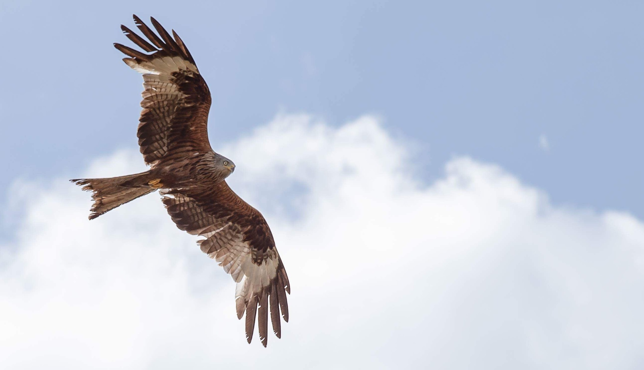 Bird Of Prey by Sedge Wilson