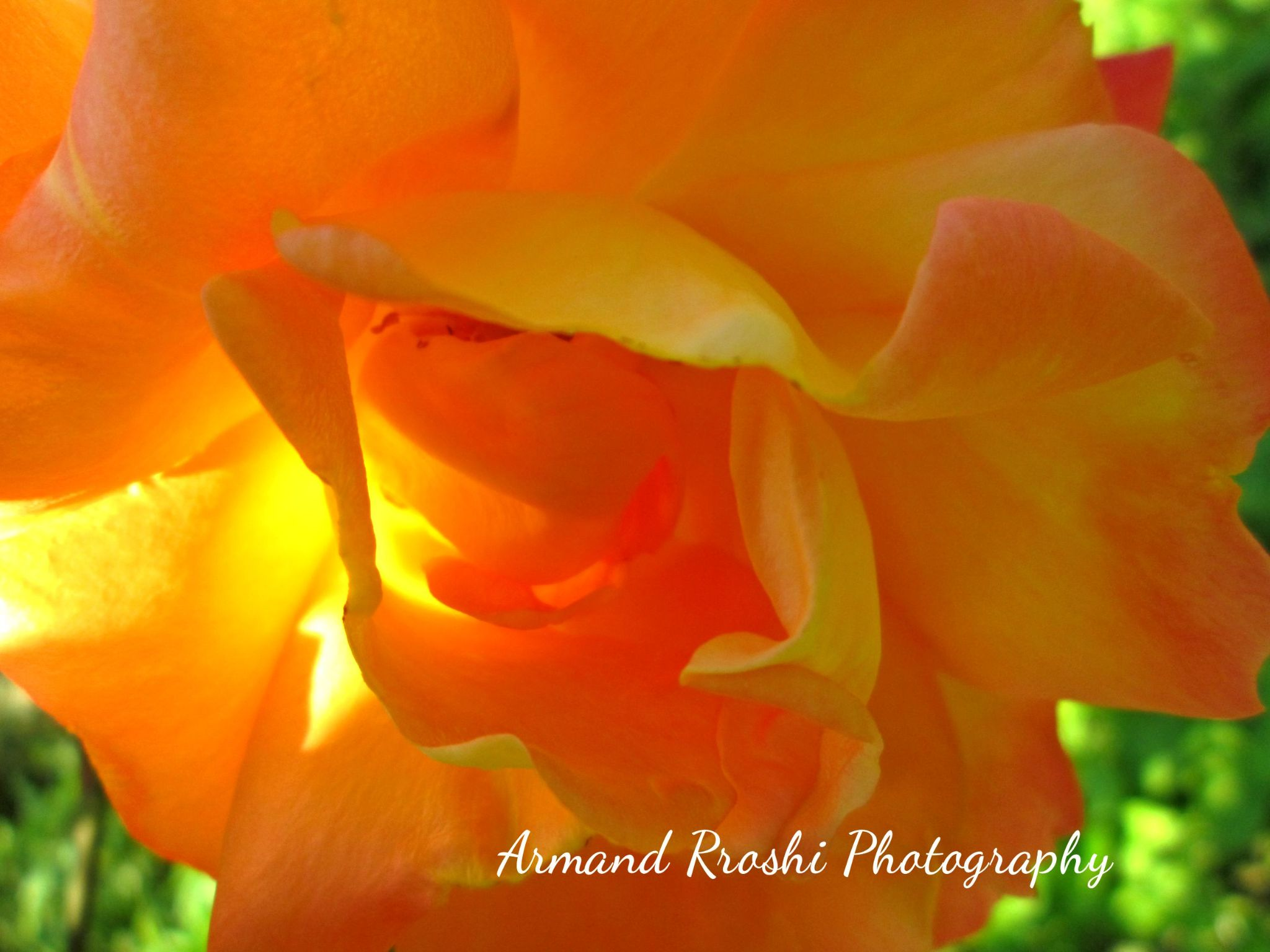 Flowers by Armand Rroshi