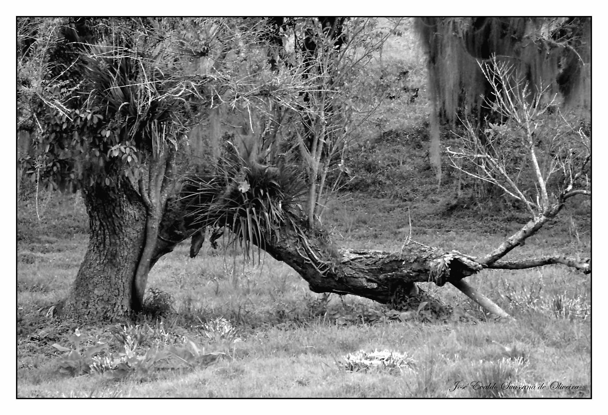 Broken Tree by José Evaldo Suassuna de Oliveira