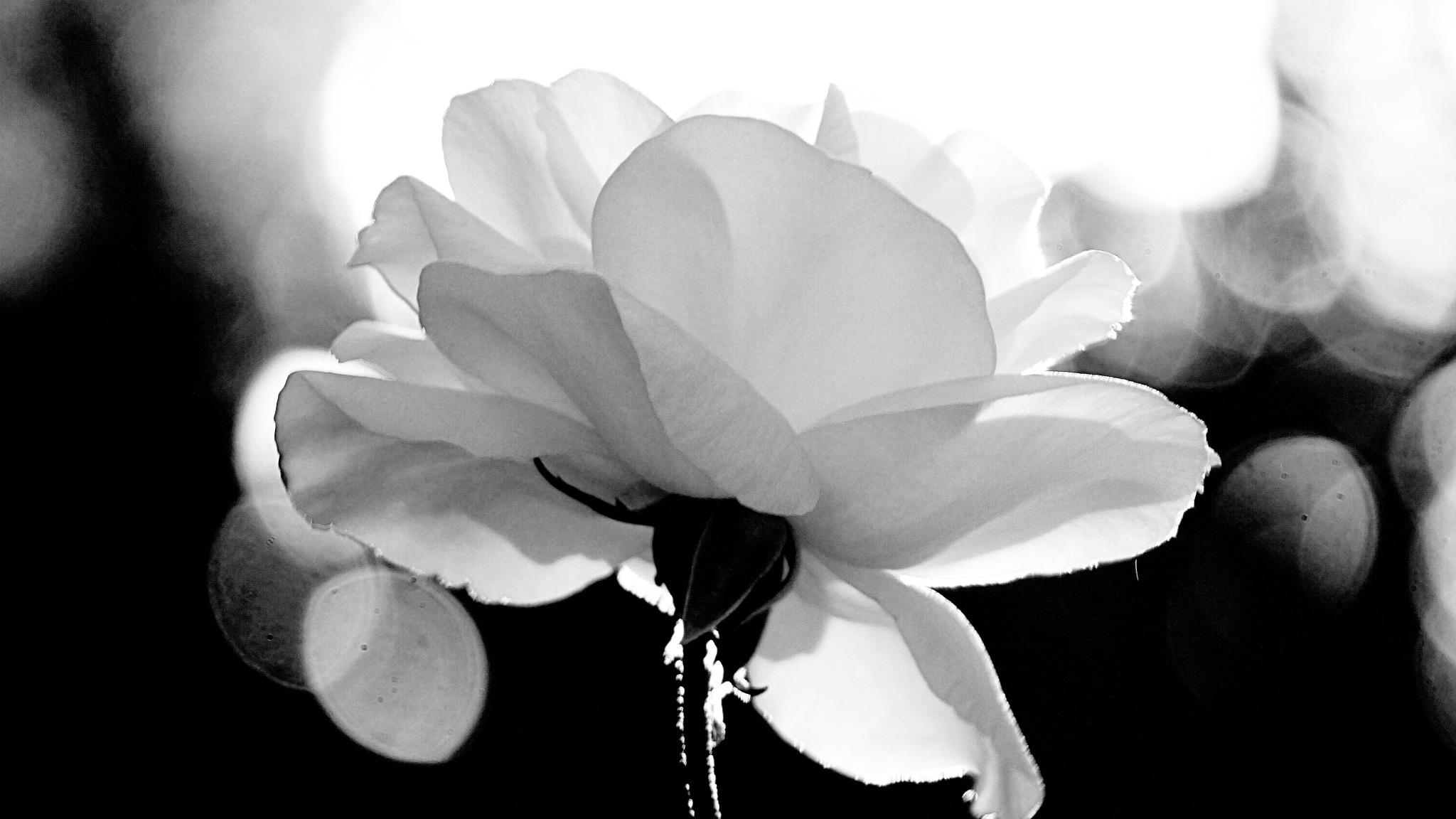 White Rose by José Evaldo Suassuna de Oliveira