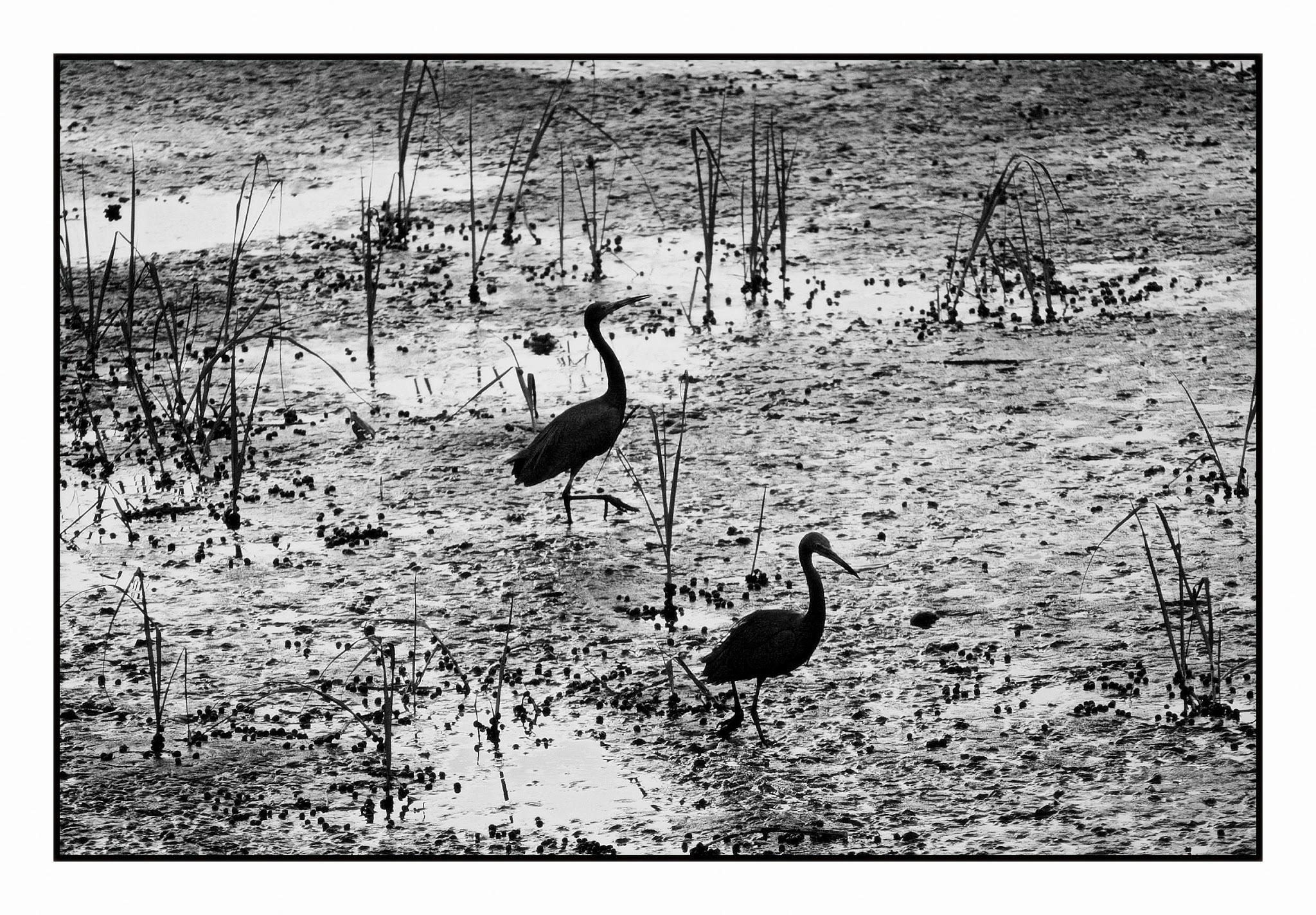 Aves do mangue by José Evaldo Suassuna de Oliveira