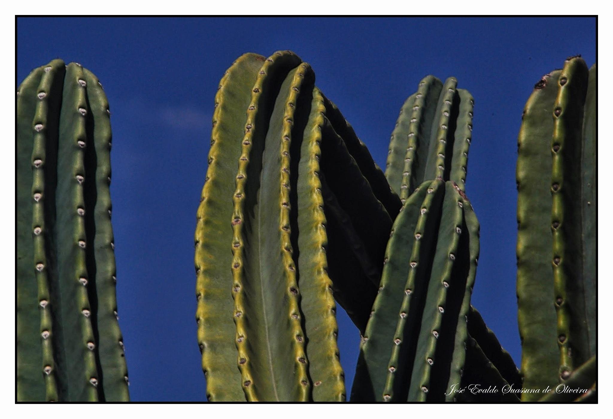 Cactus by José Evaldo Suassuna de Oliveira